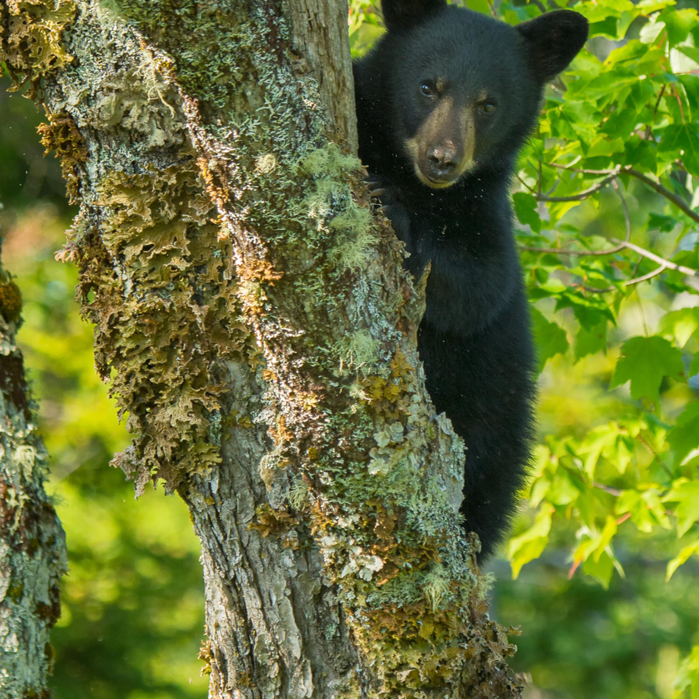 Bear cub so8vog