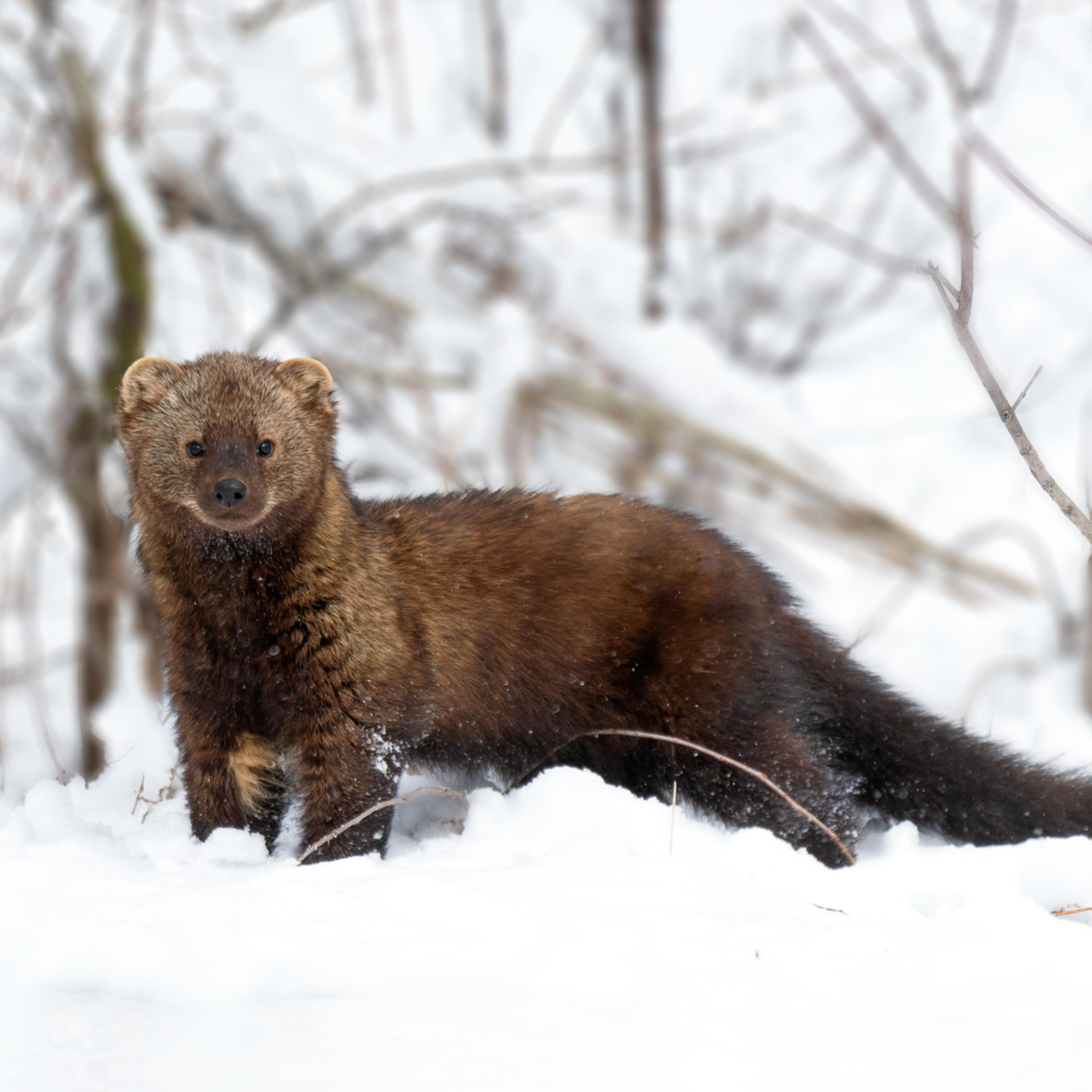 Fisher in snow u8meg9