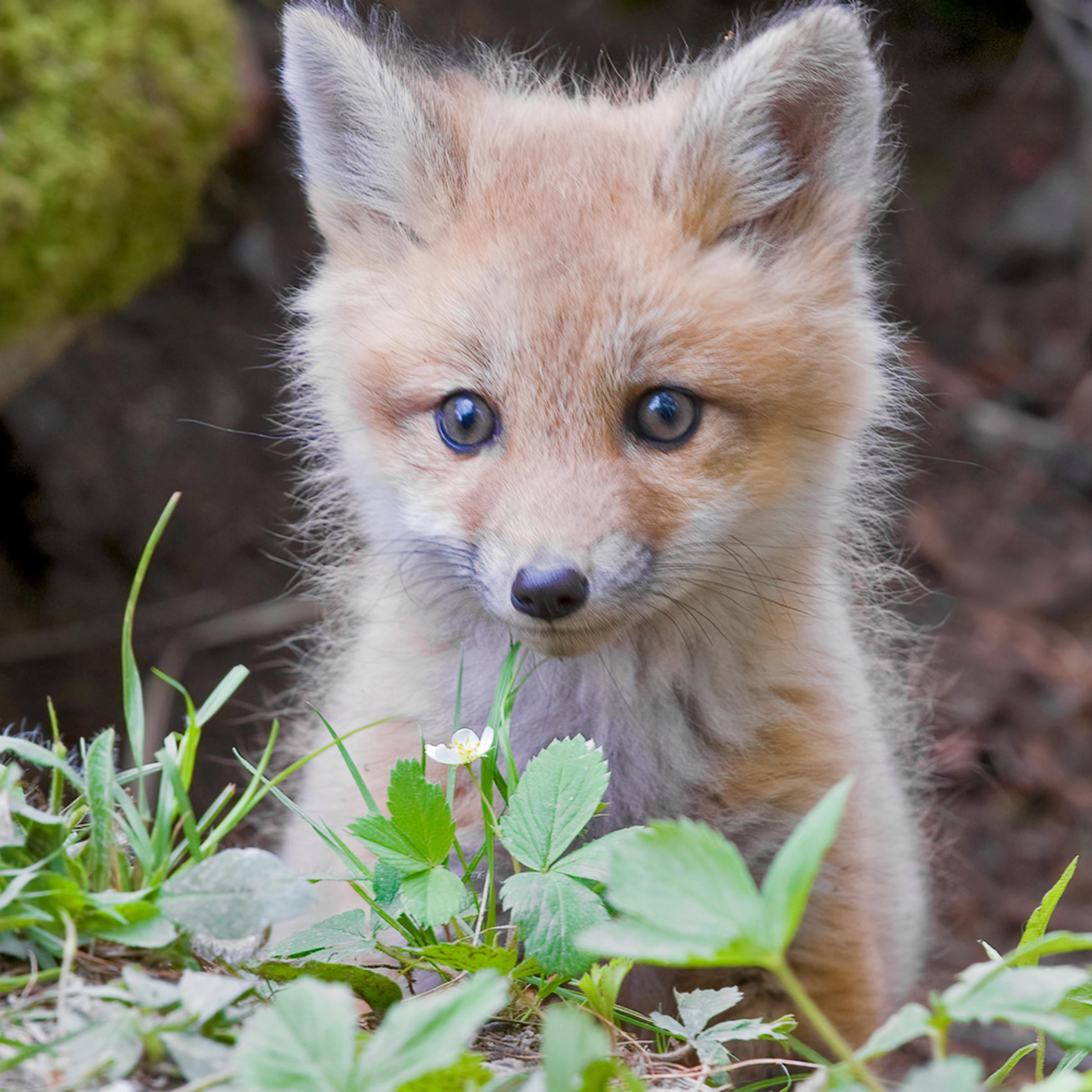 Red fox kit chp0mv