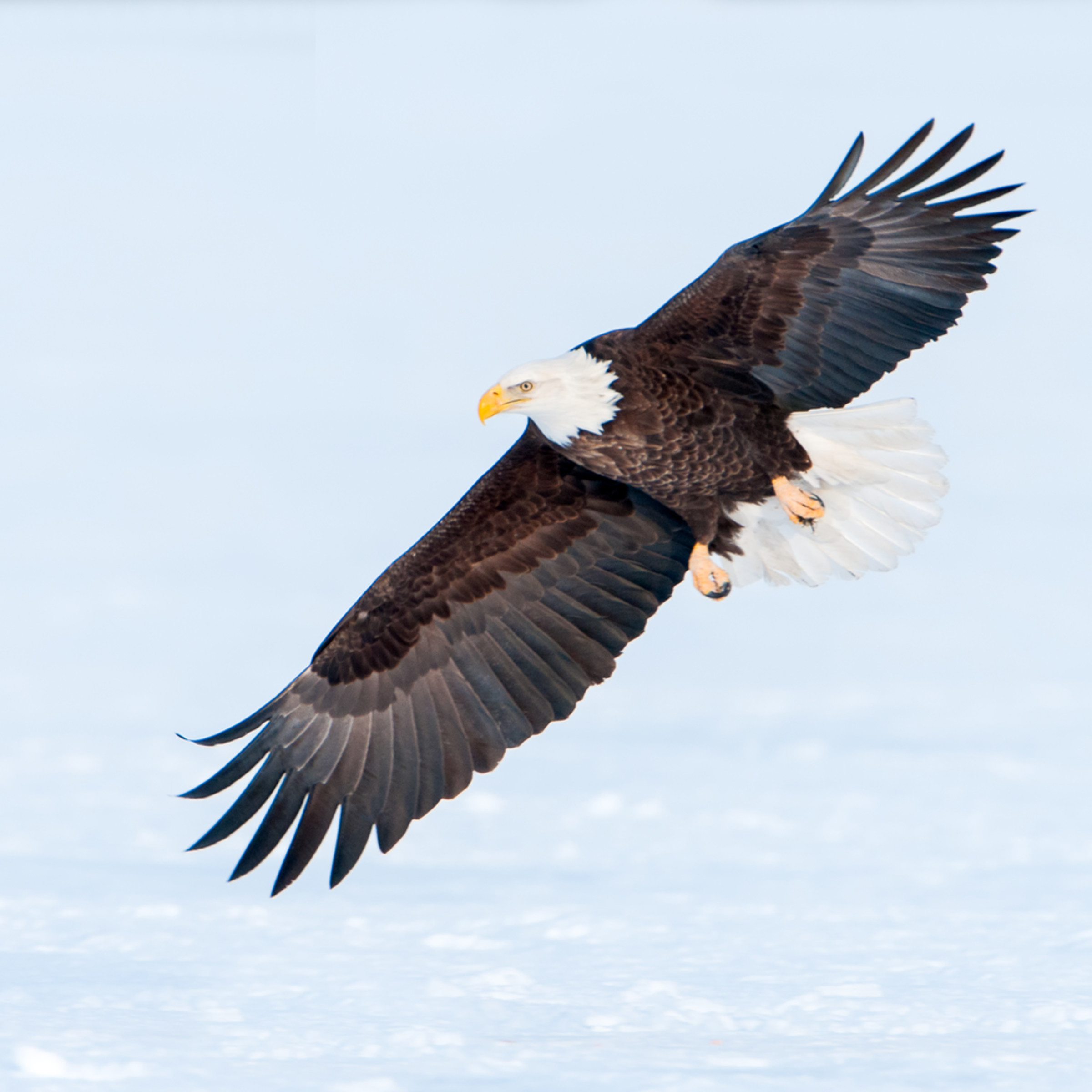 Bald eagle swooping wff5me