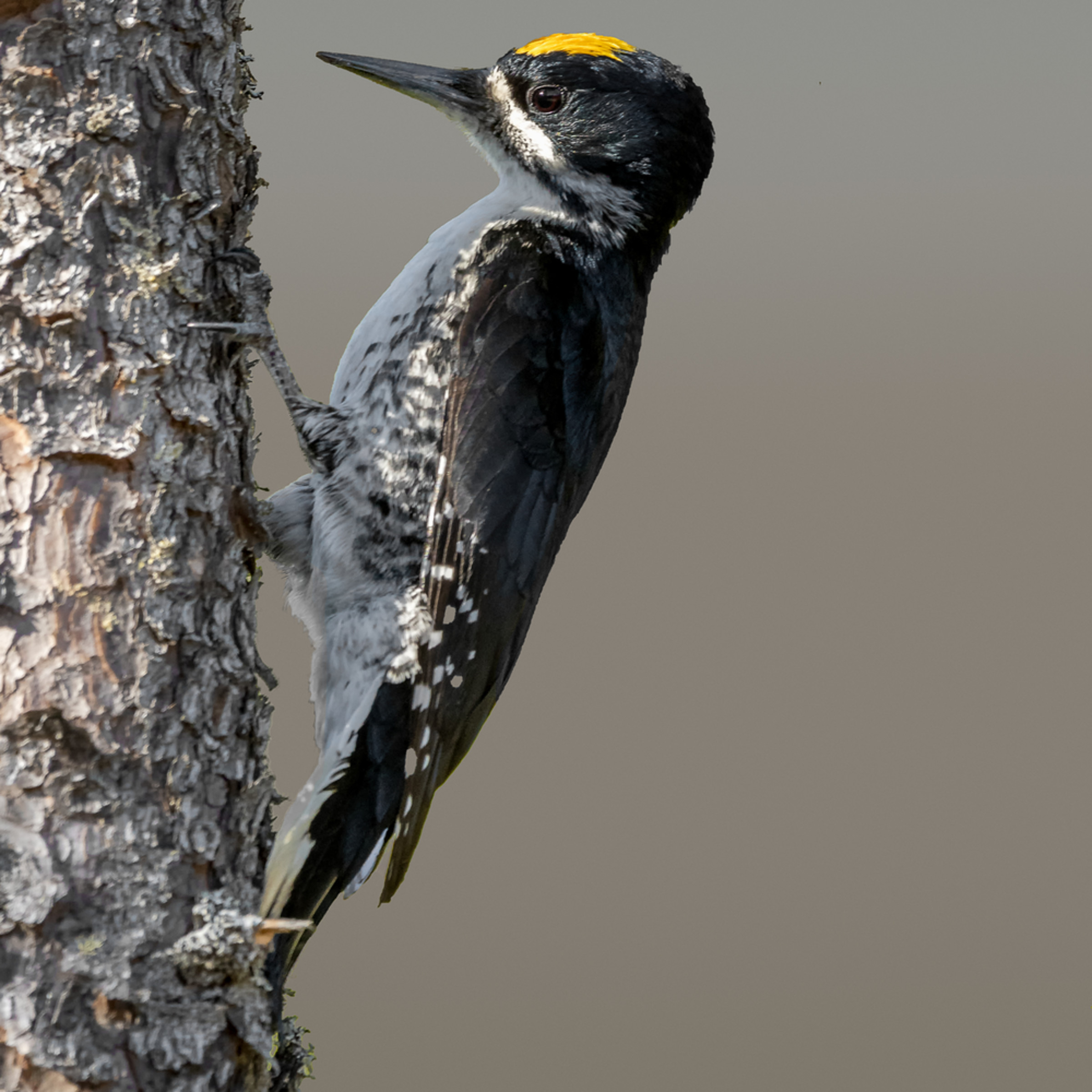 Black backed woodpecker rbktaf