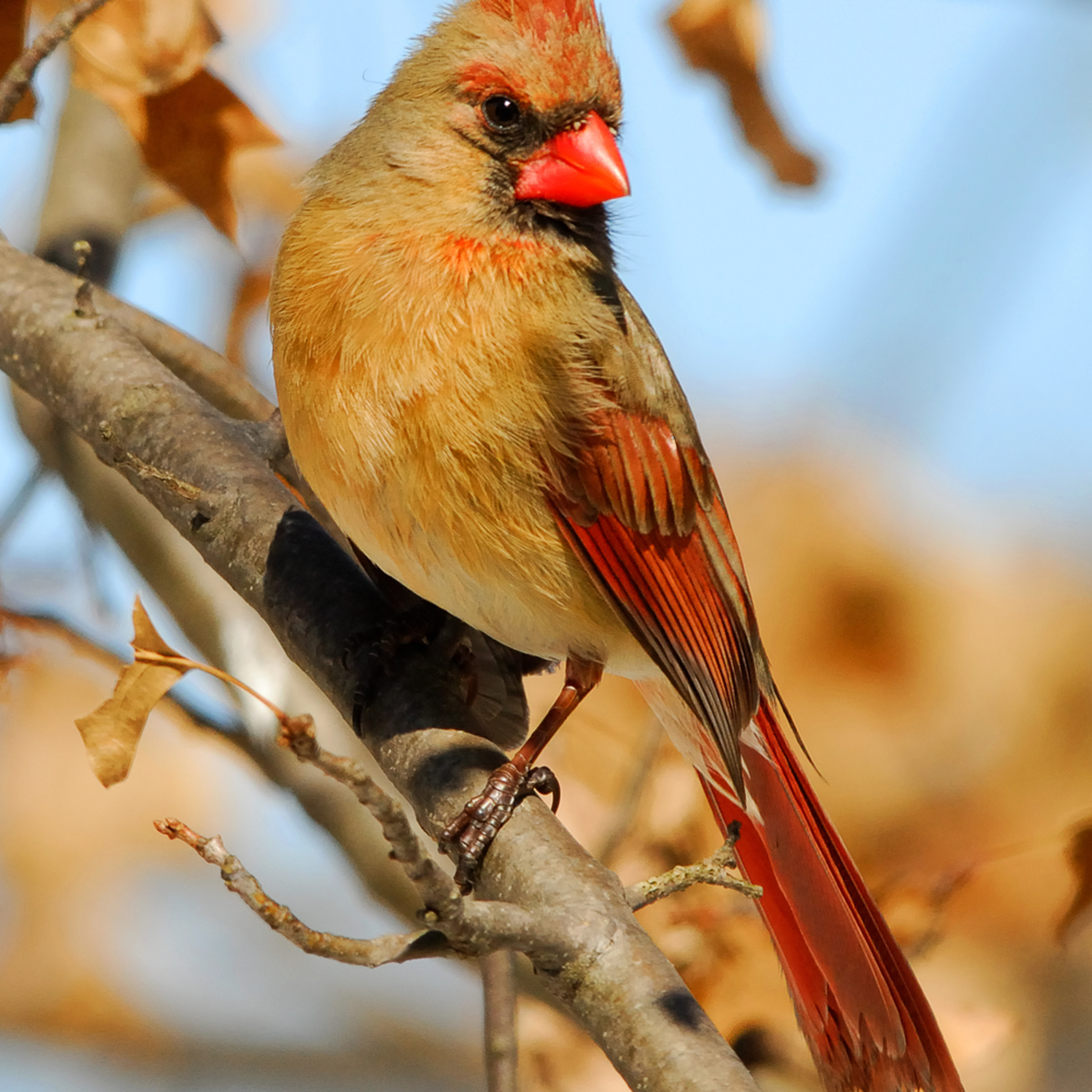 Female cardinal gtszzi