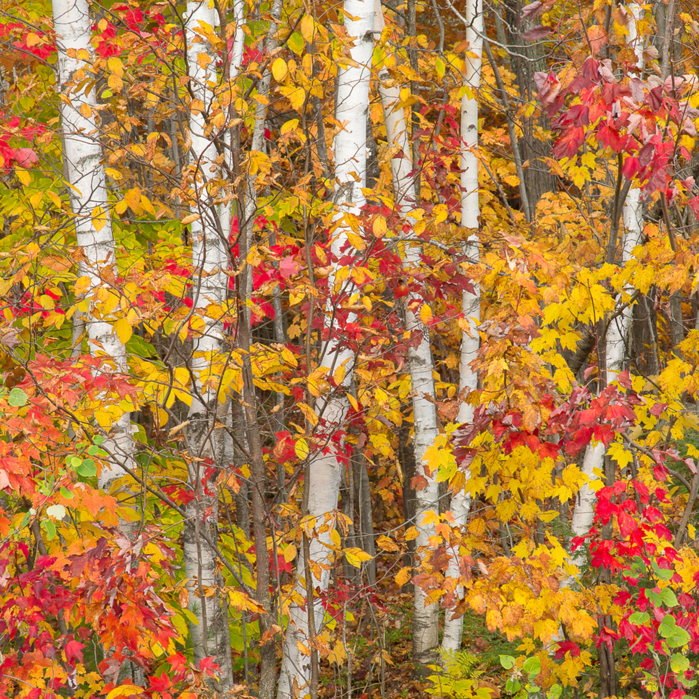 Birches in fall koq6pk