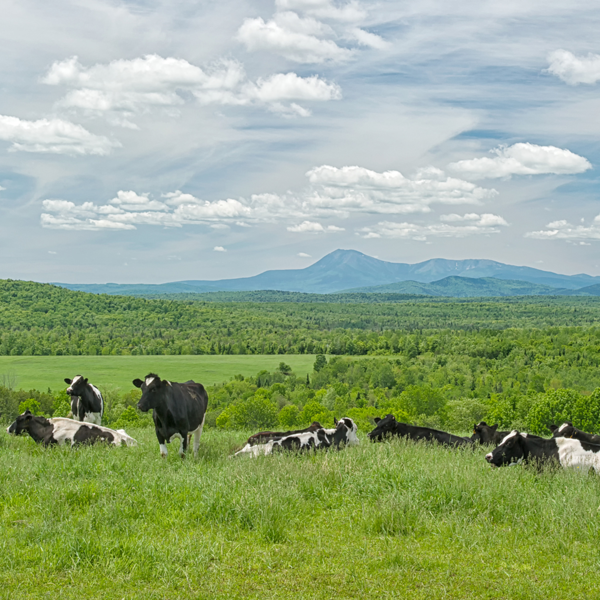 Cows and mt katahdin pnbpzb