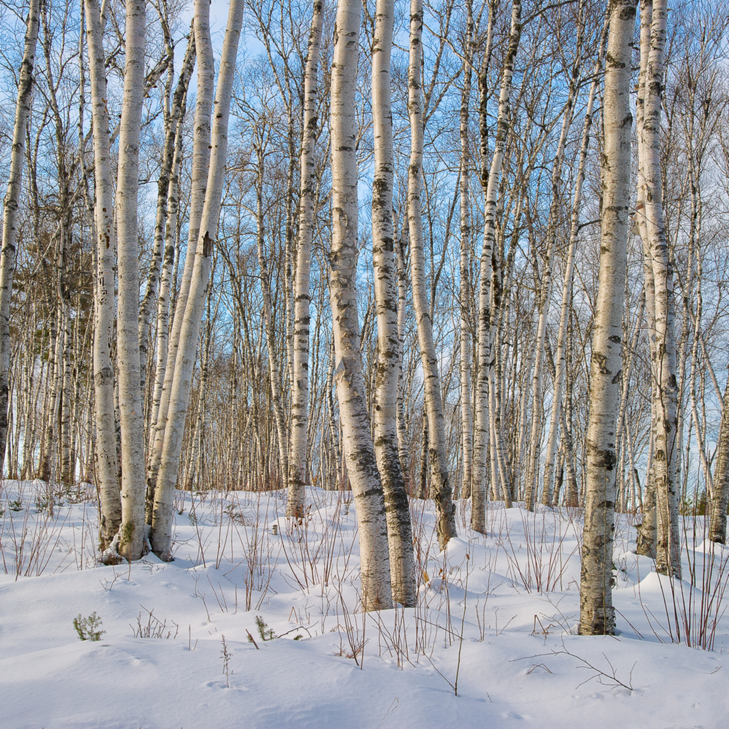 Birches in winter yadp3f