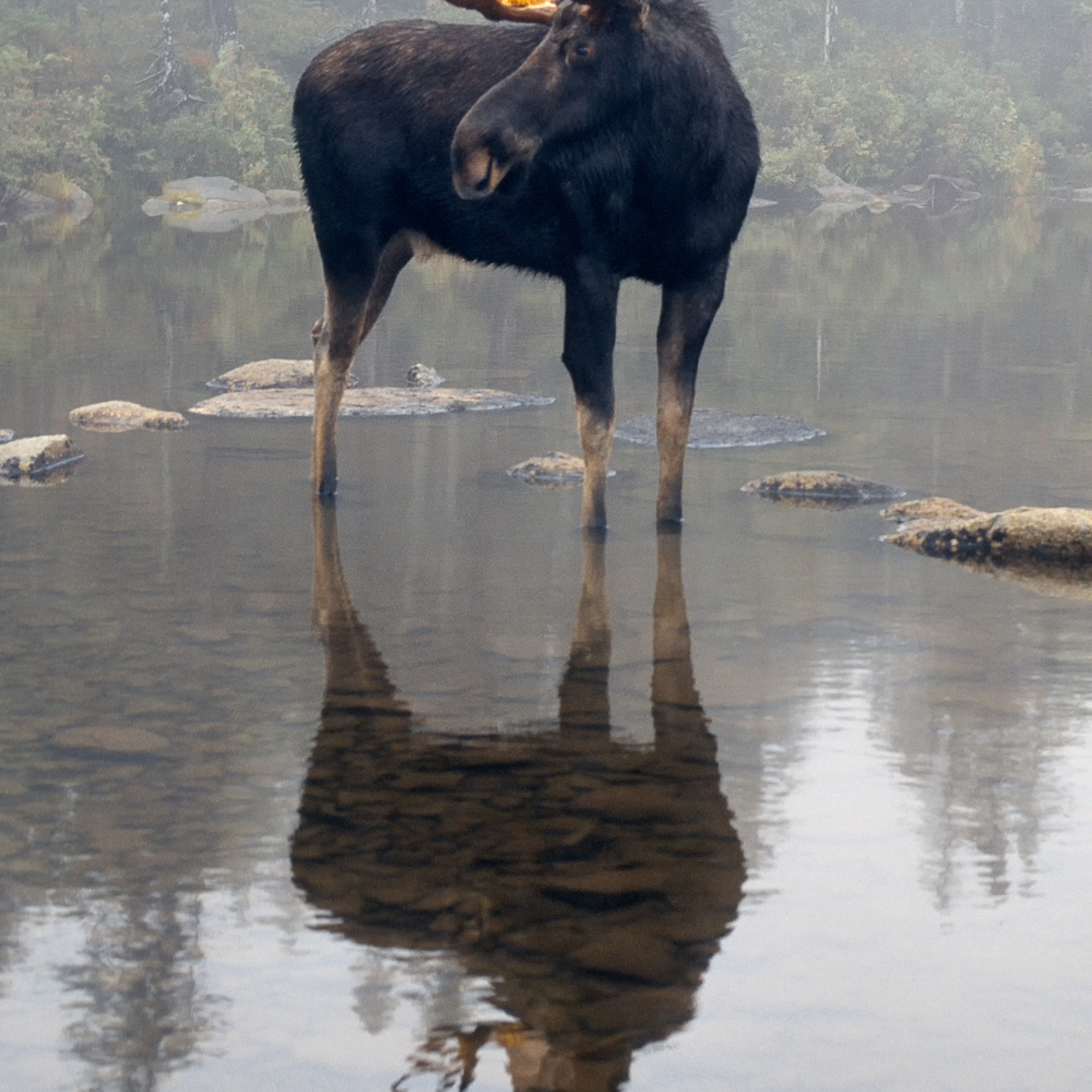 Bull moose and reflections sgtbwx