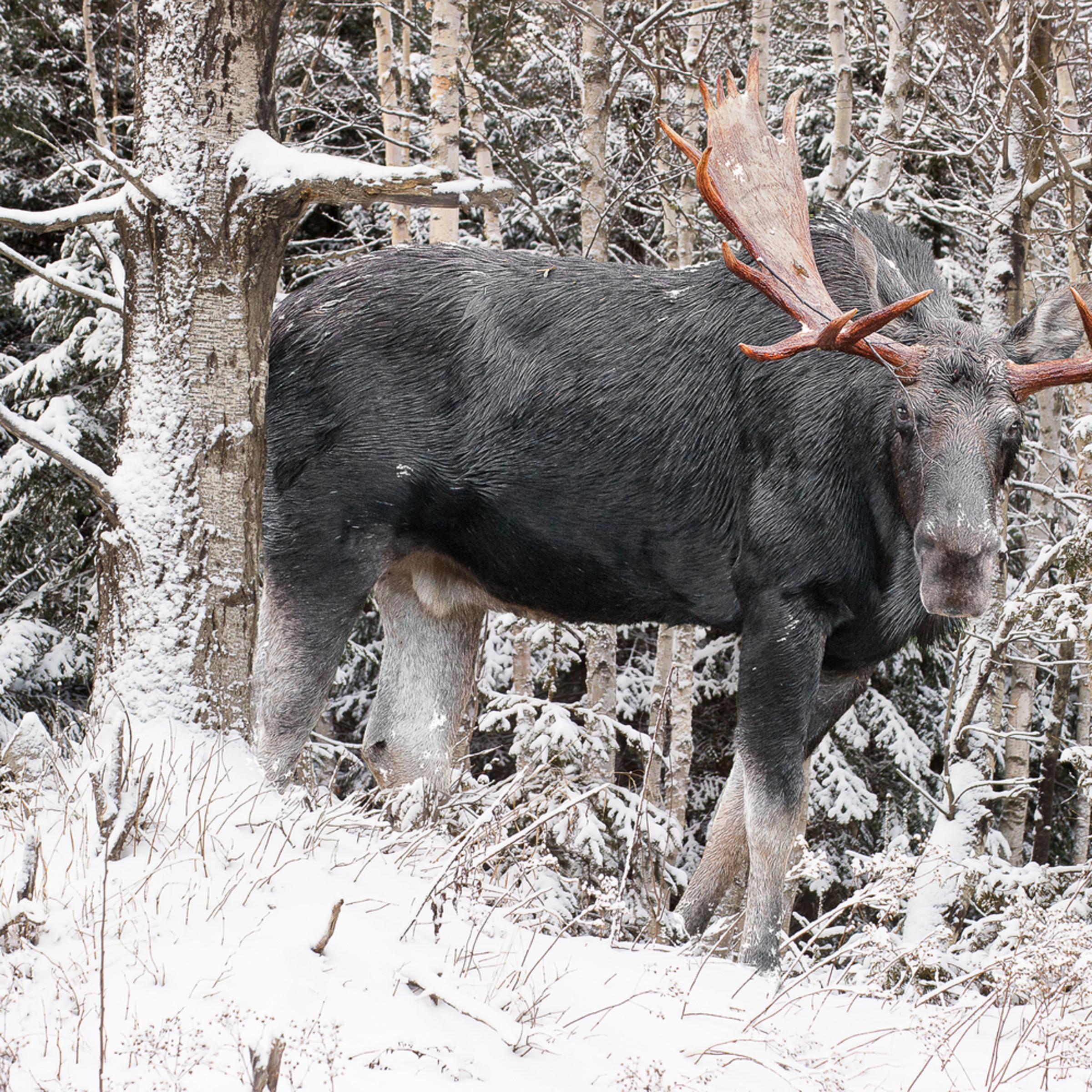 Bull moose behind snowy birches pmlc3c
