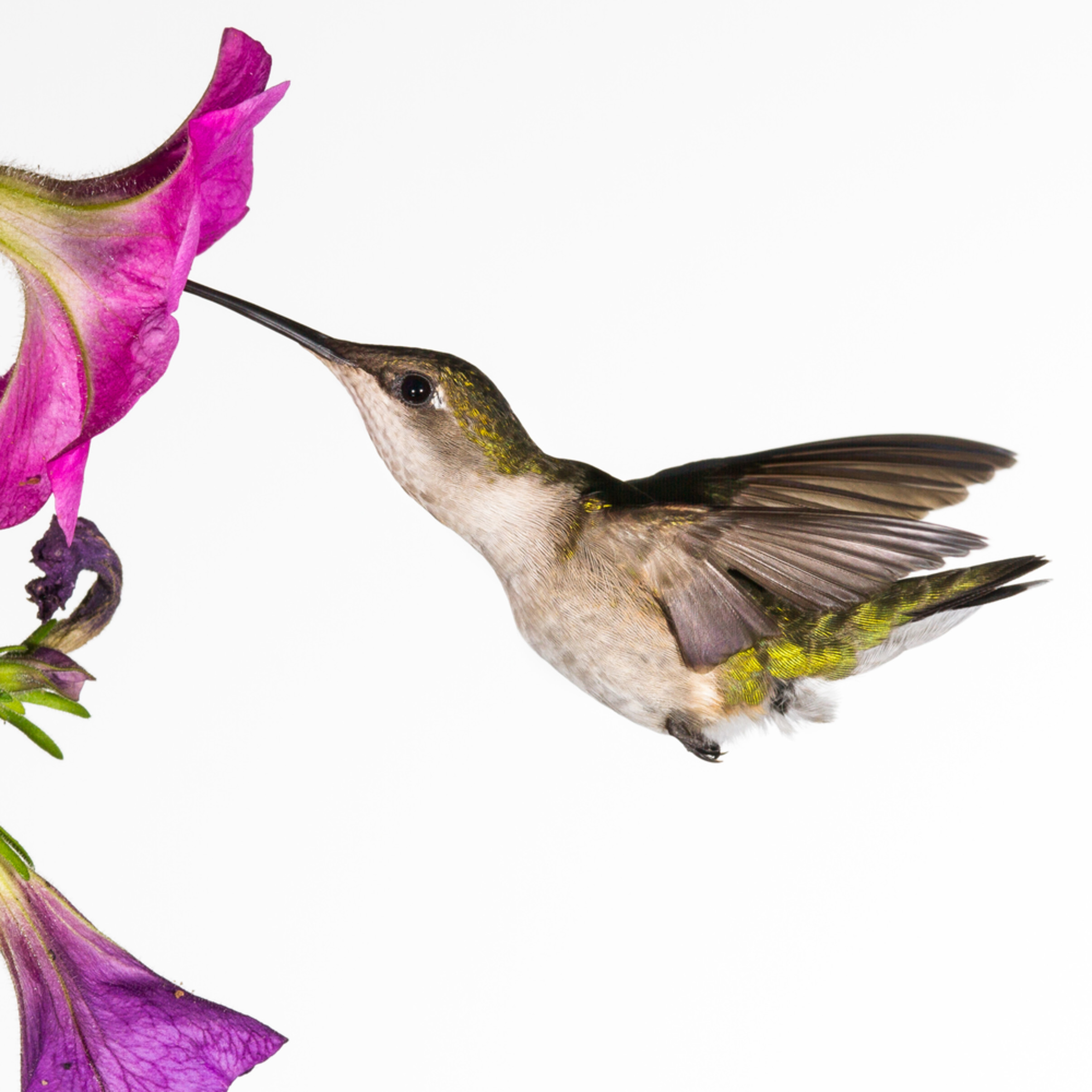 Hummingbirdfemale 6796 mfl8qa