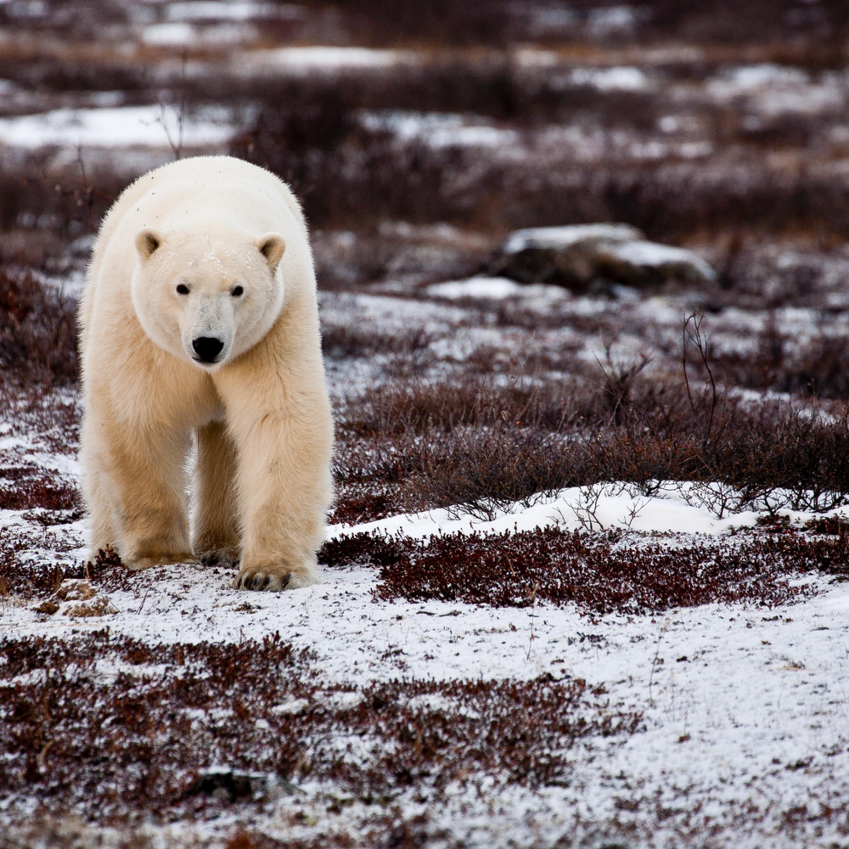 Curious polar bear roisxb