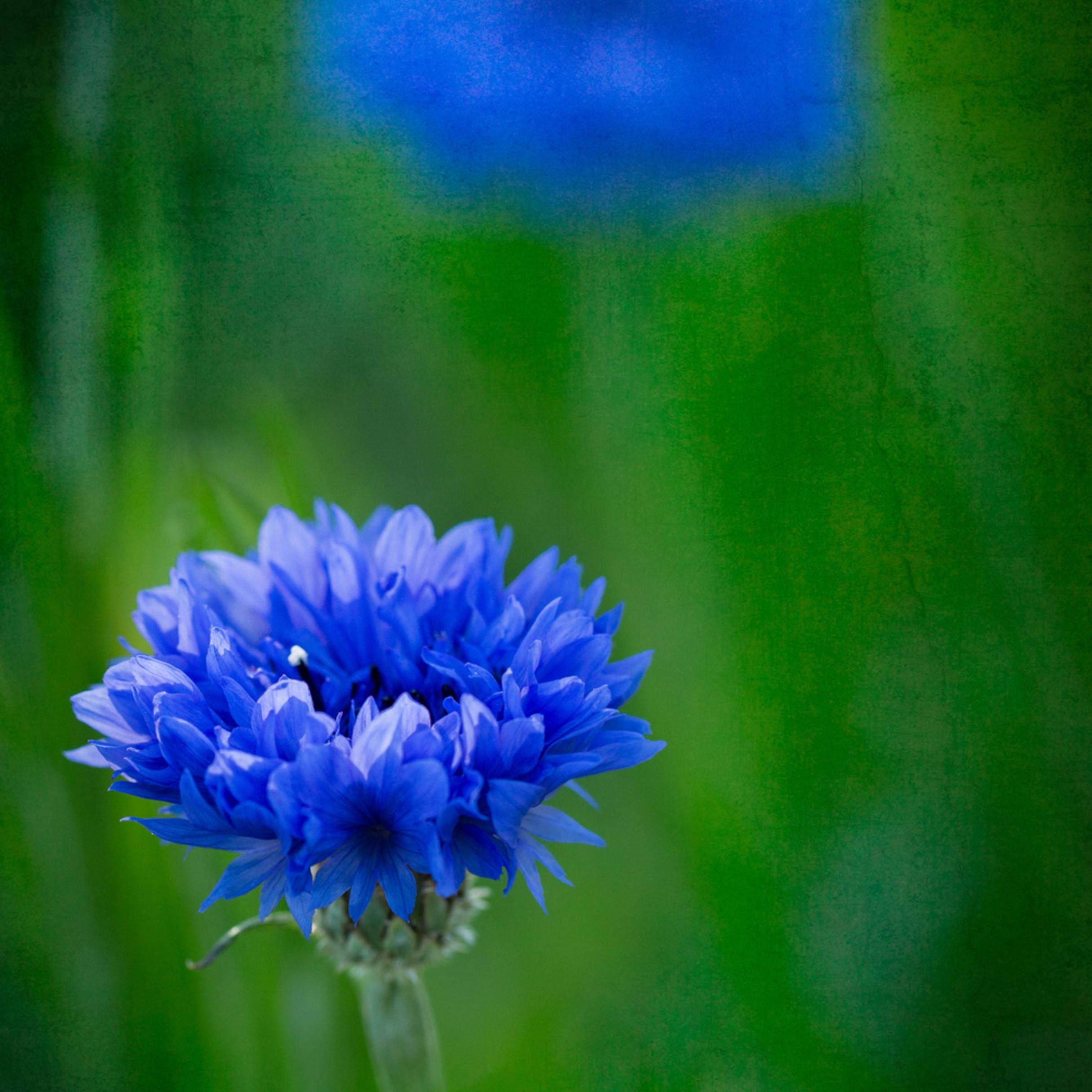 Garden blues oq2vmn