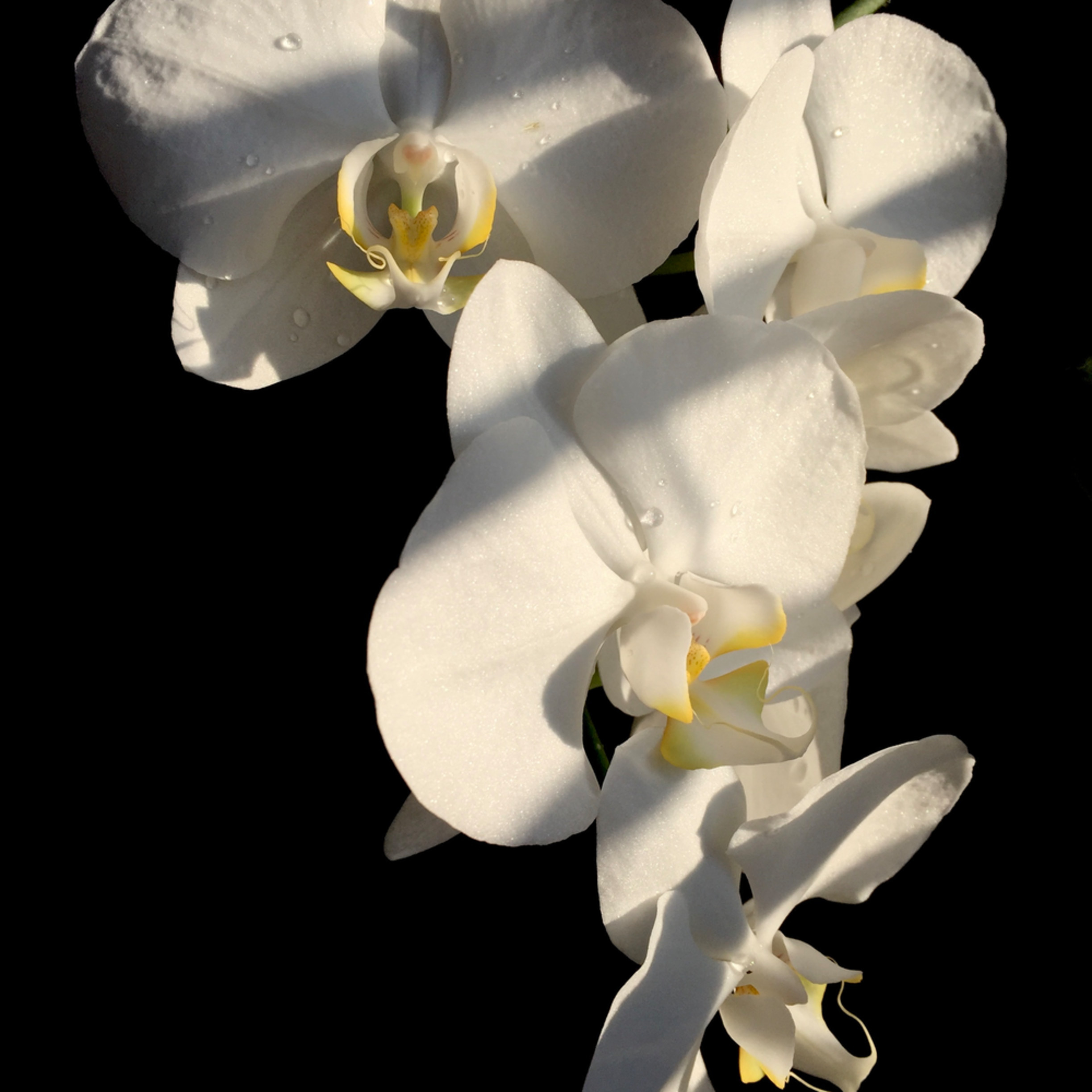 Orchid i7lbz5