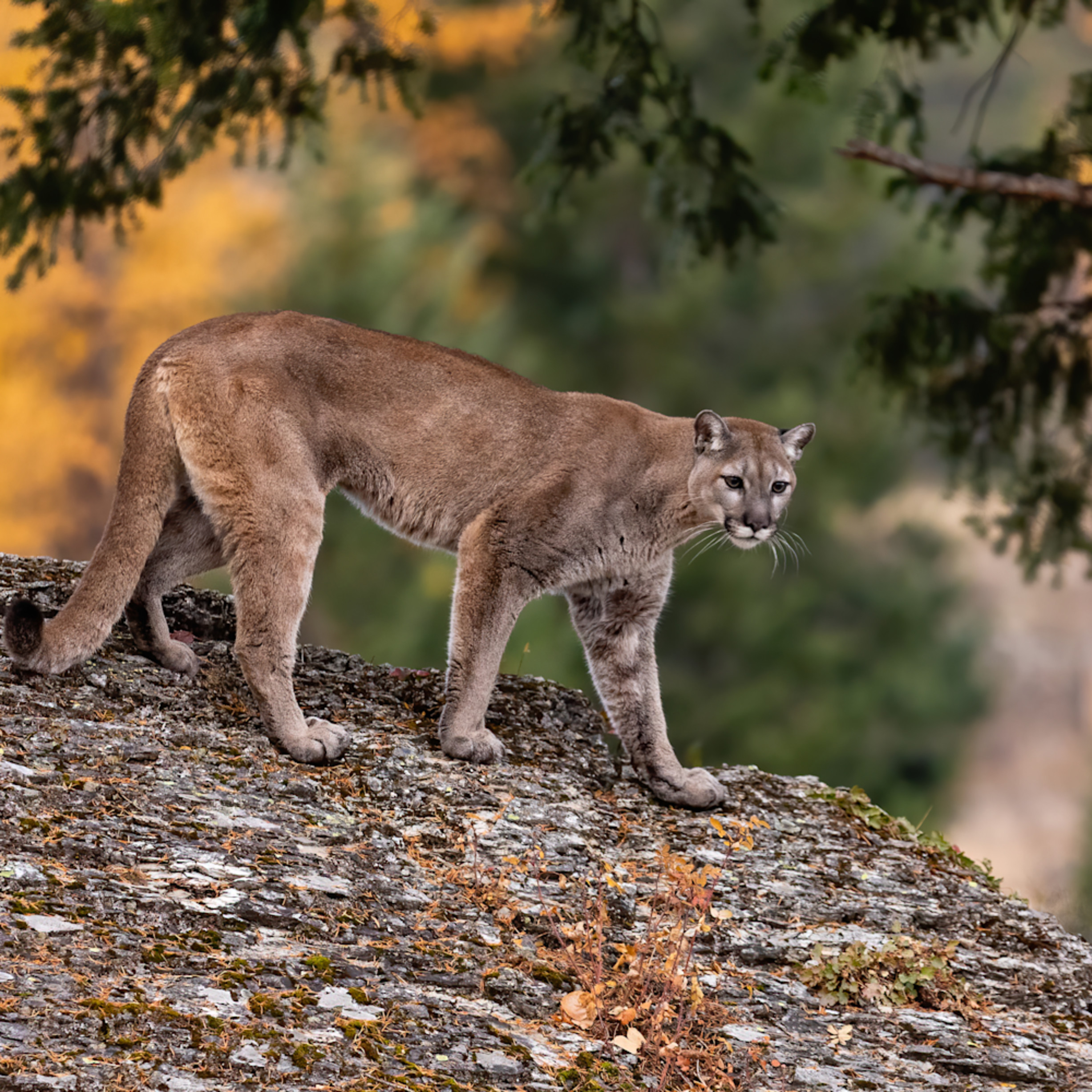 Mountain lion on large boulder with fall background mamgja
