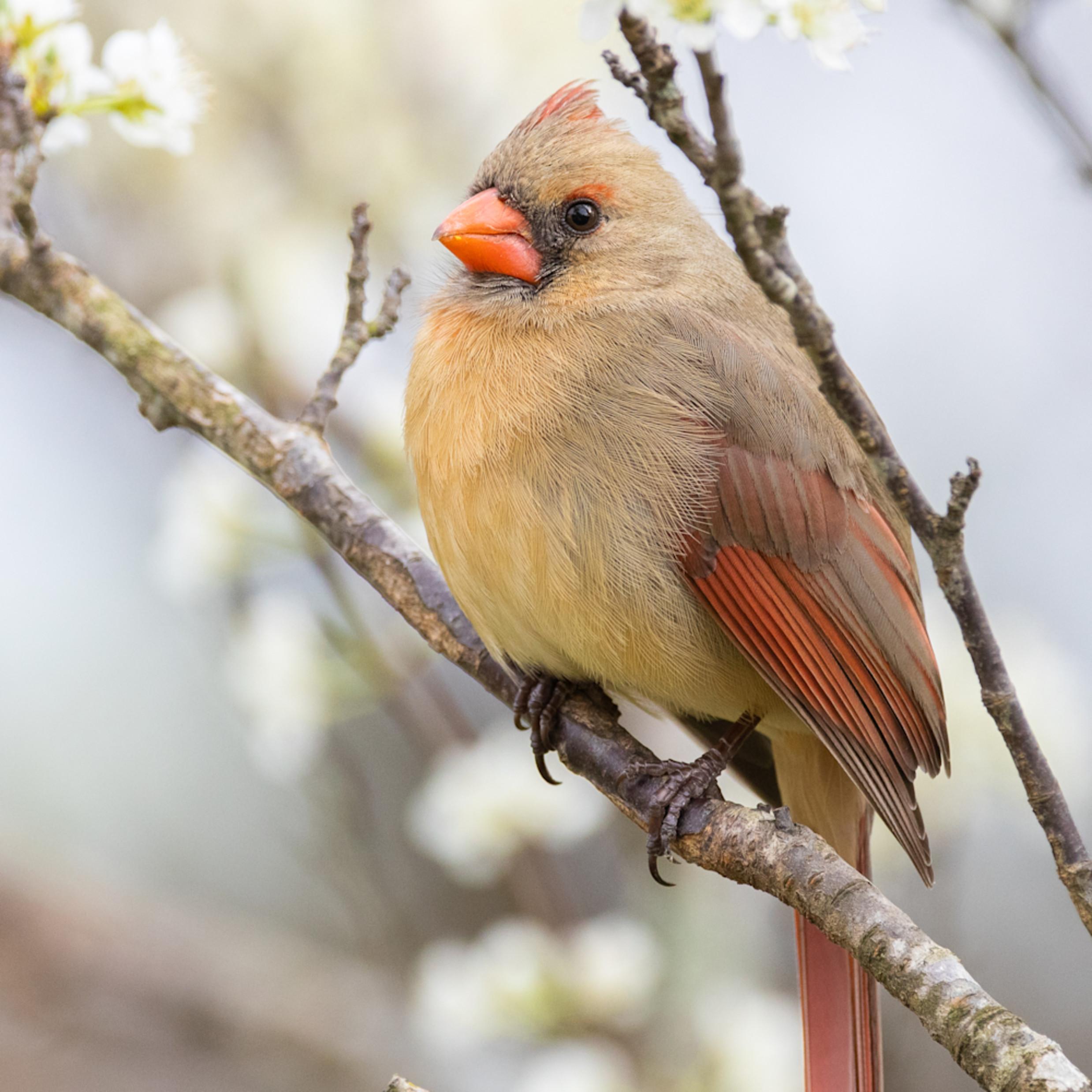 Forsyth county nc northern cardinal cuda 3 grvdnz
