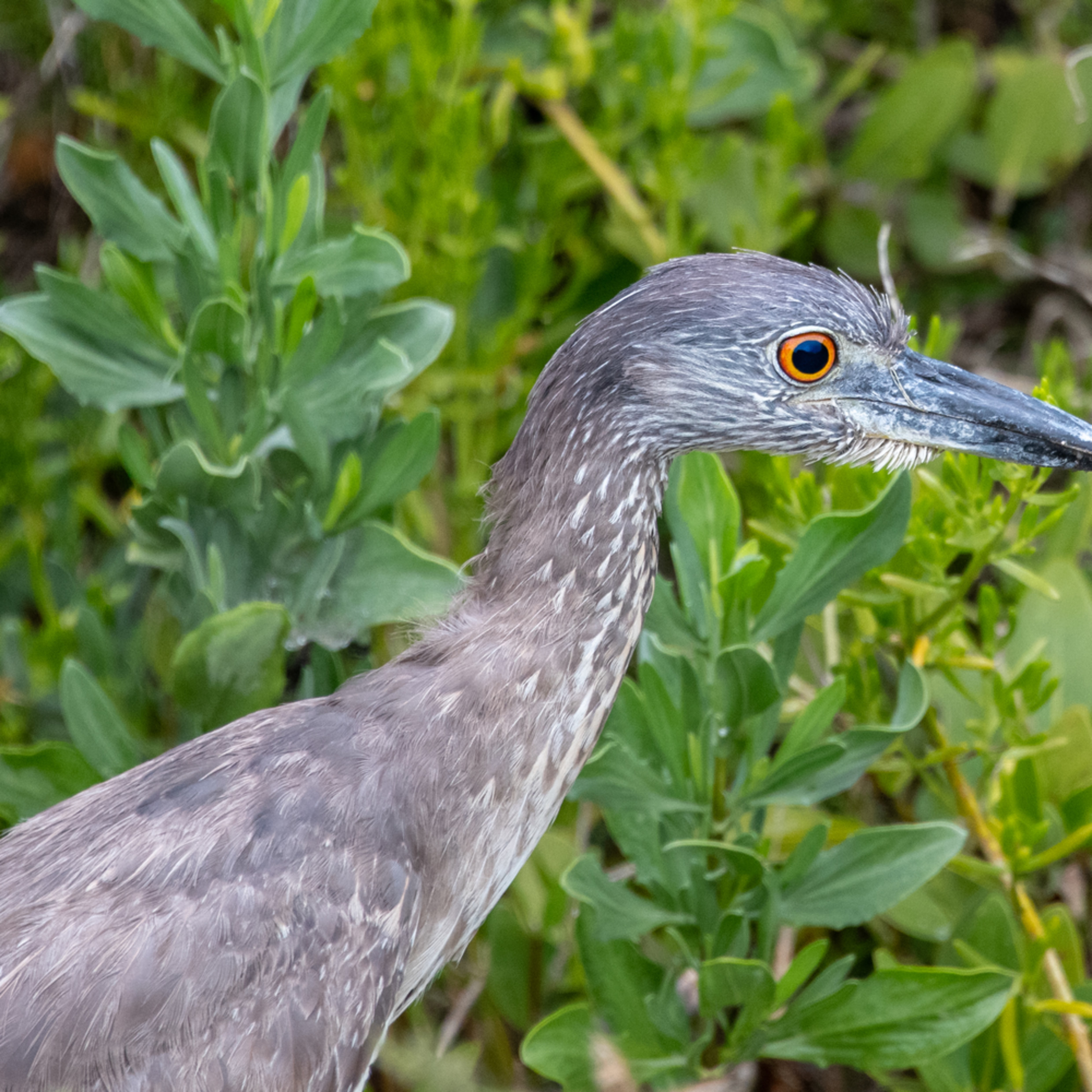 Heron portraits jackie one juvenile yellow crowned night heron asfprint lk08nz