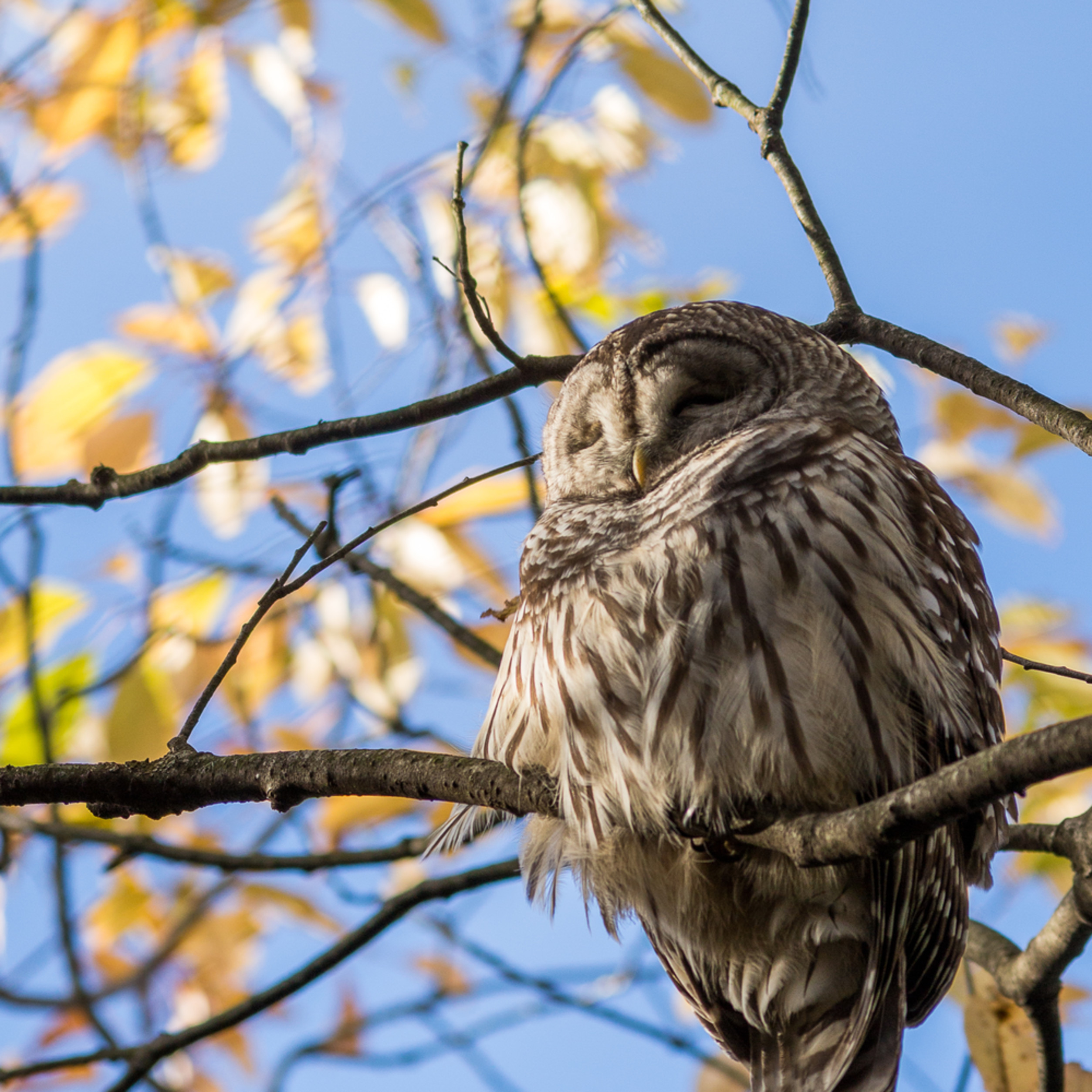 20161022 barred owl 00903 jeybwq