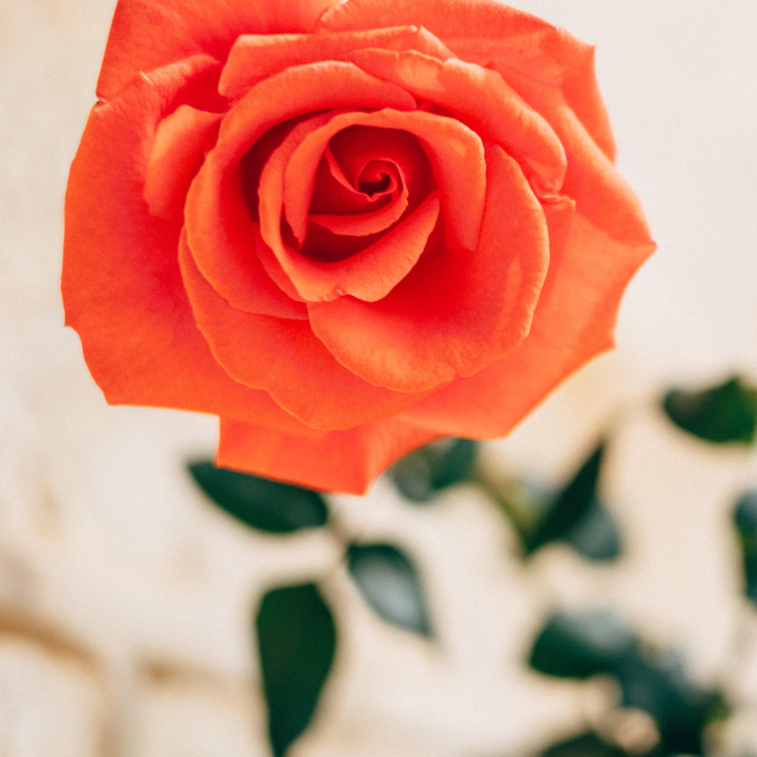 Mary s rose b89zlv