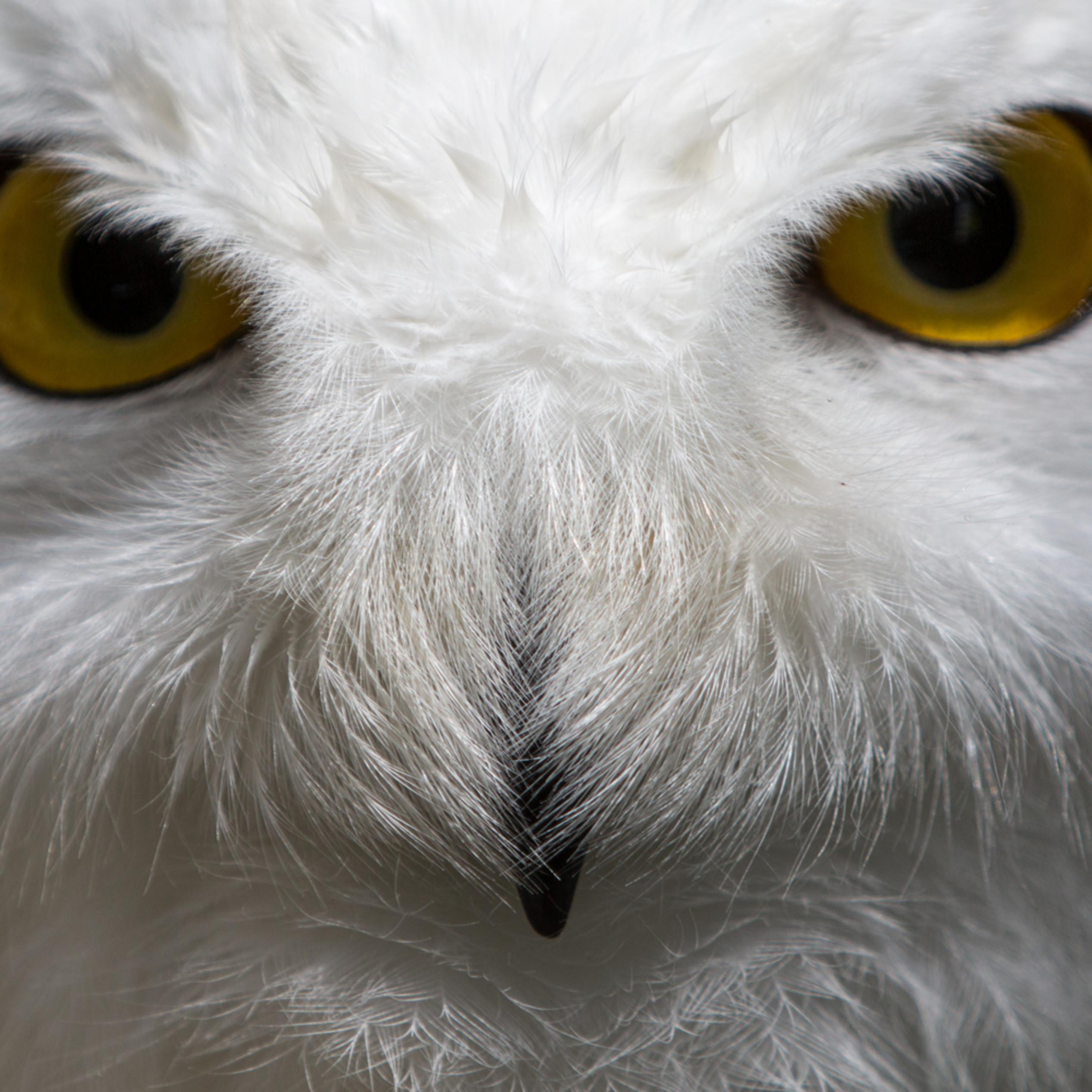 Snowy owl stare nh35pk