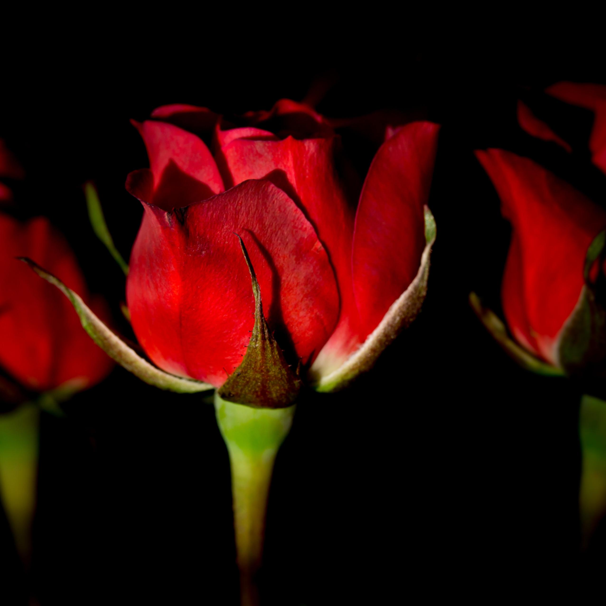 Roses 4x5 hr 9208 o0tujb
