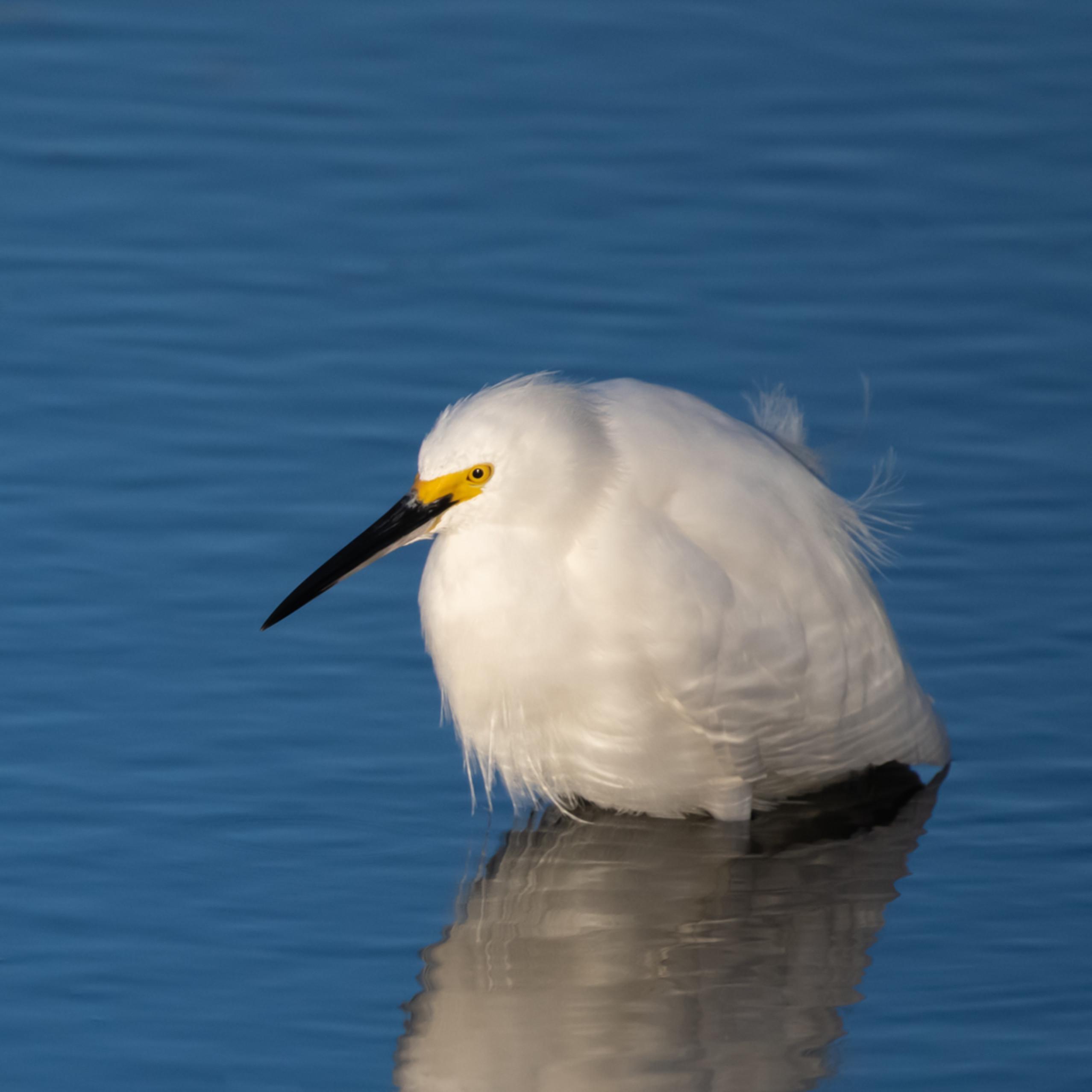 Egret portraits babe snowy egret asfprint yf8r91