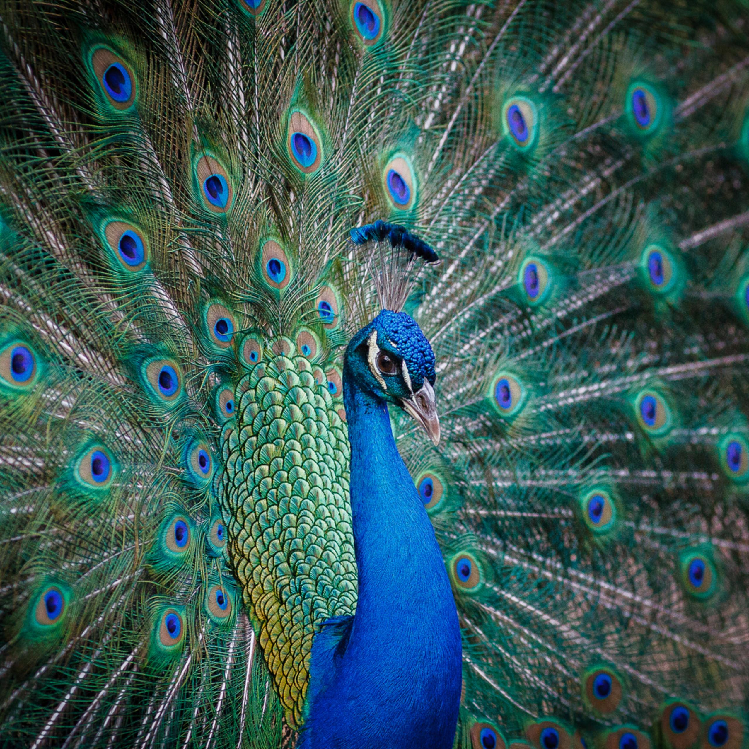 Peacock 001 zwfhfr