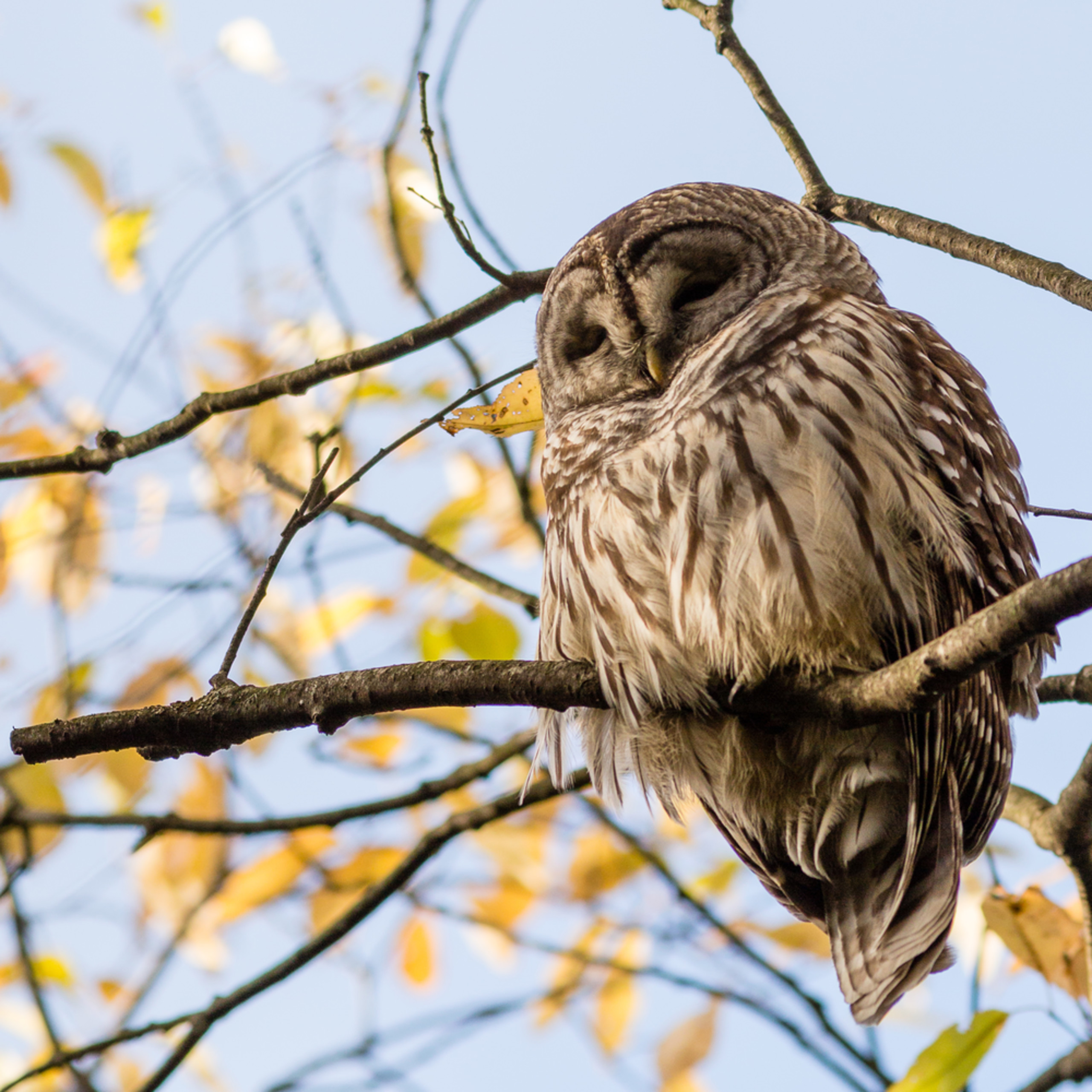20161022 barred owl 00969 agbsyd
