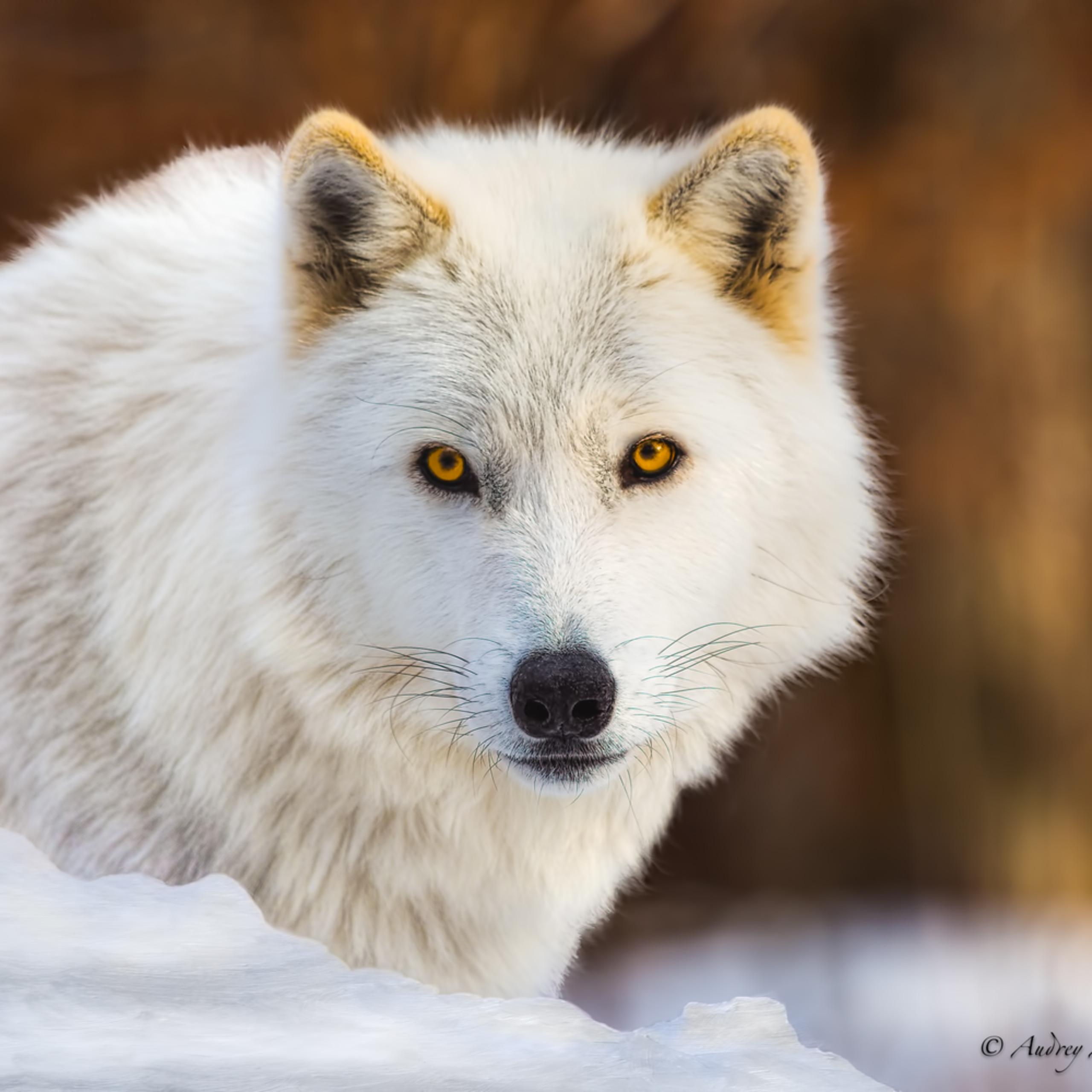Le loup blanc pby6xs