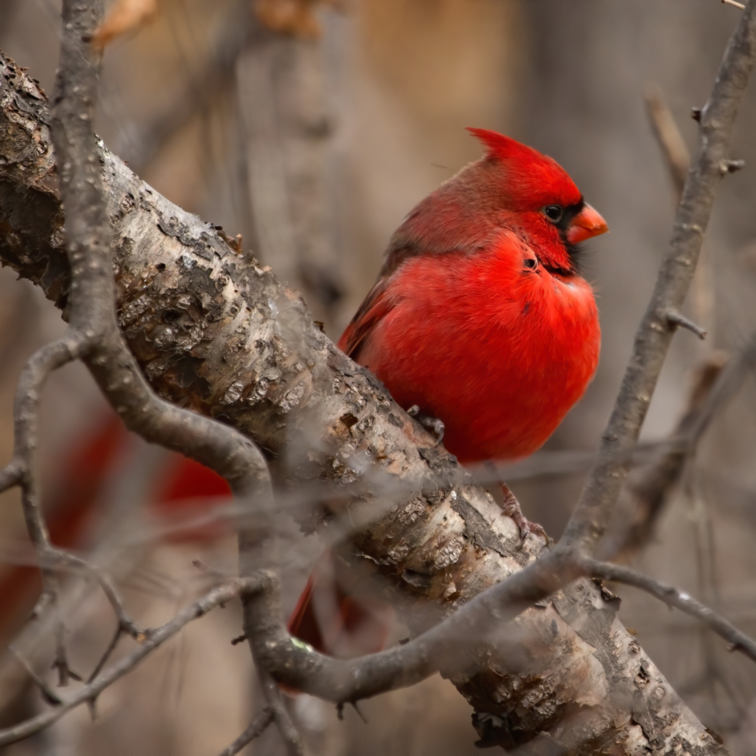 Northern cardinal perched po0k1p