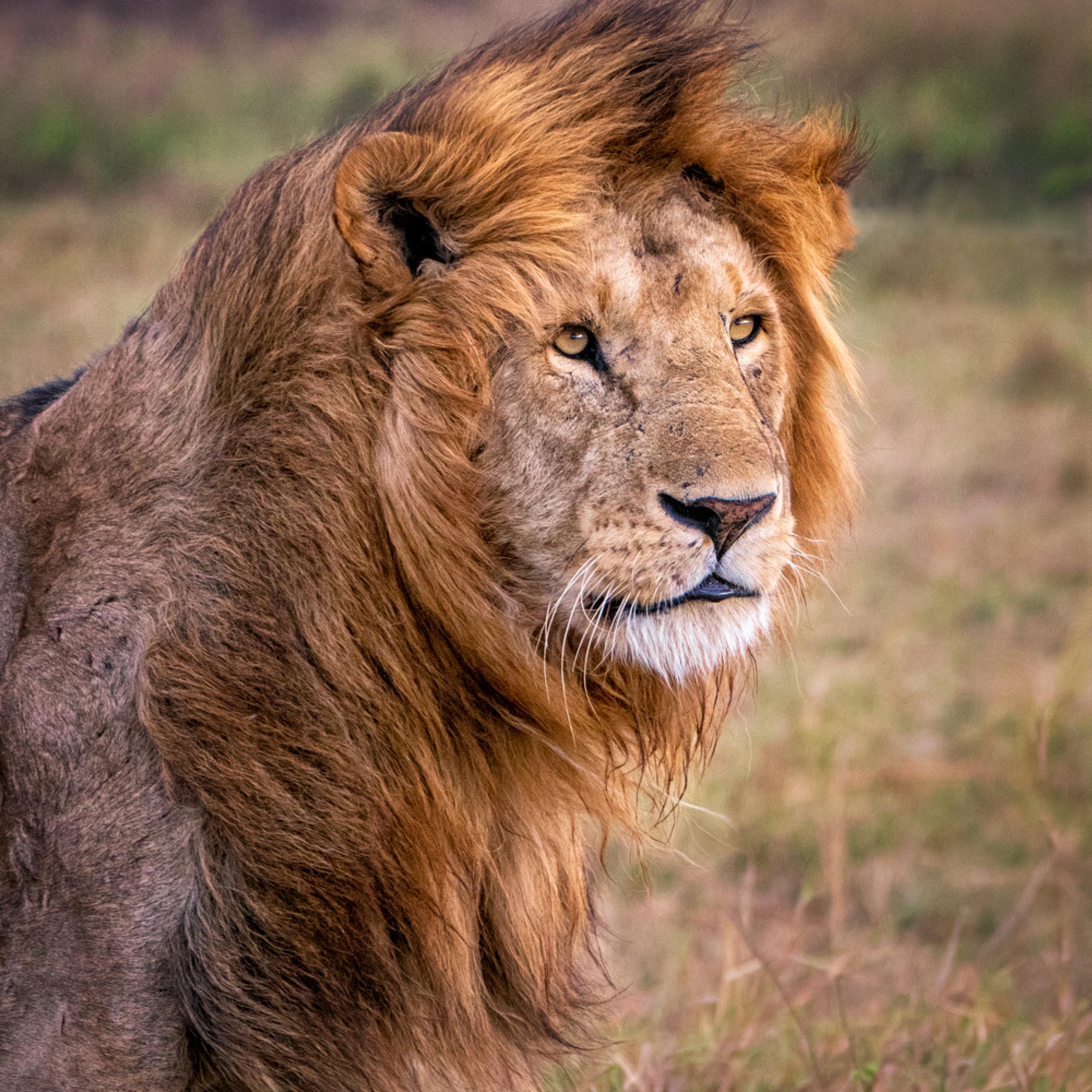 A lion s mane iw3lyw