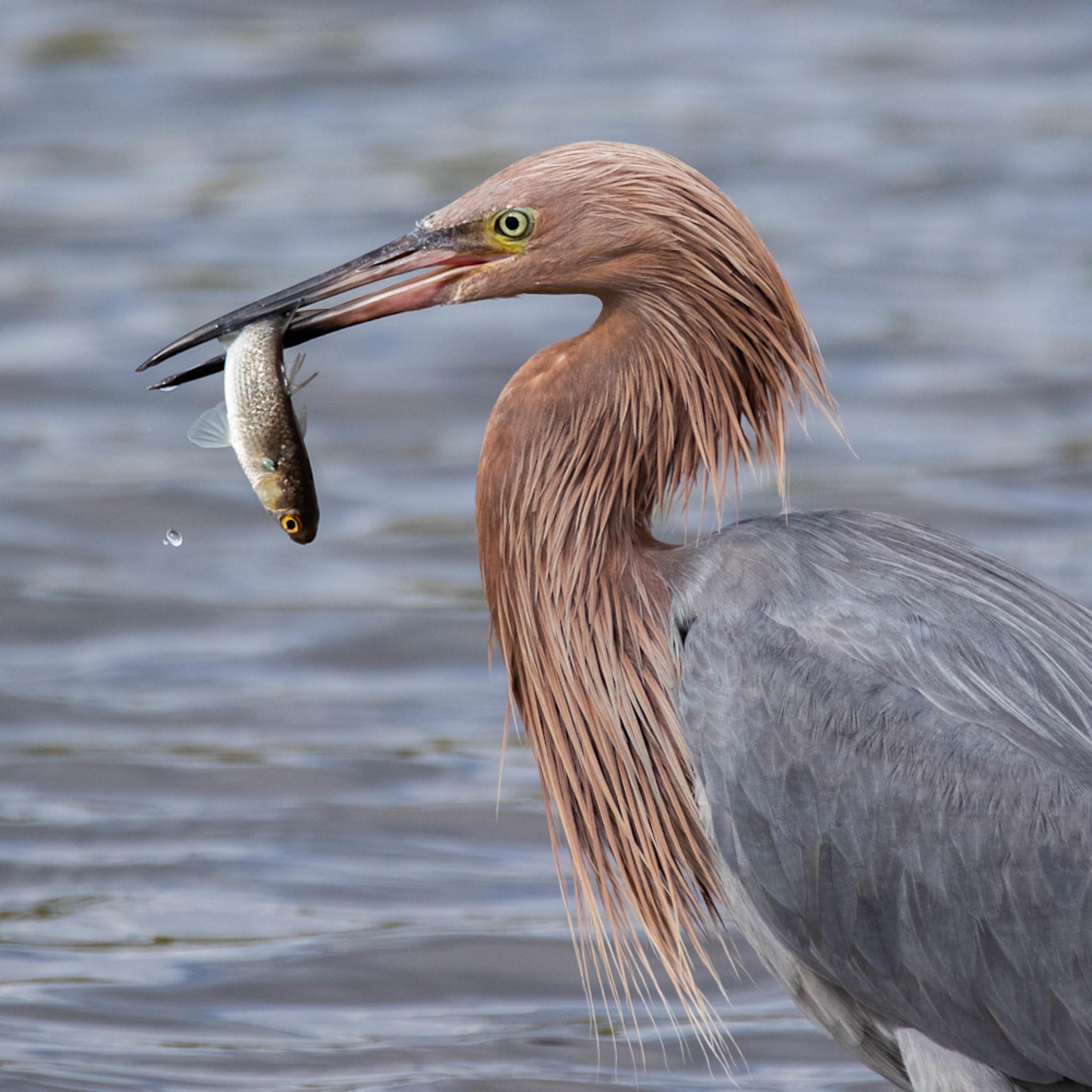 Merritt island fl reddish egret cuda au9tzz