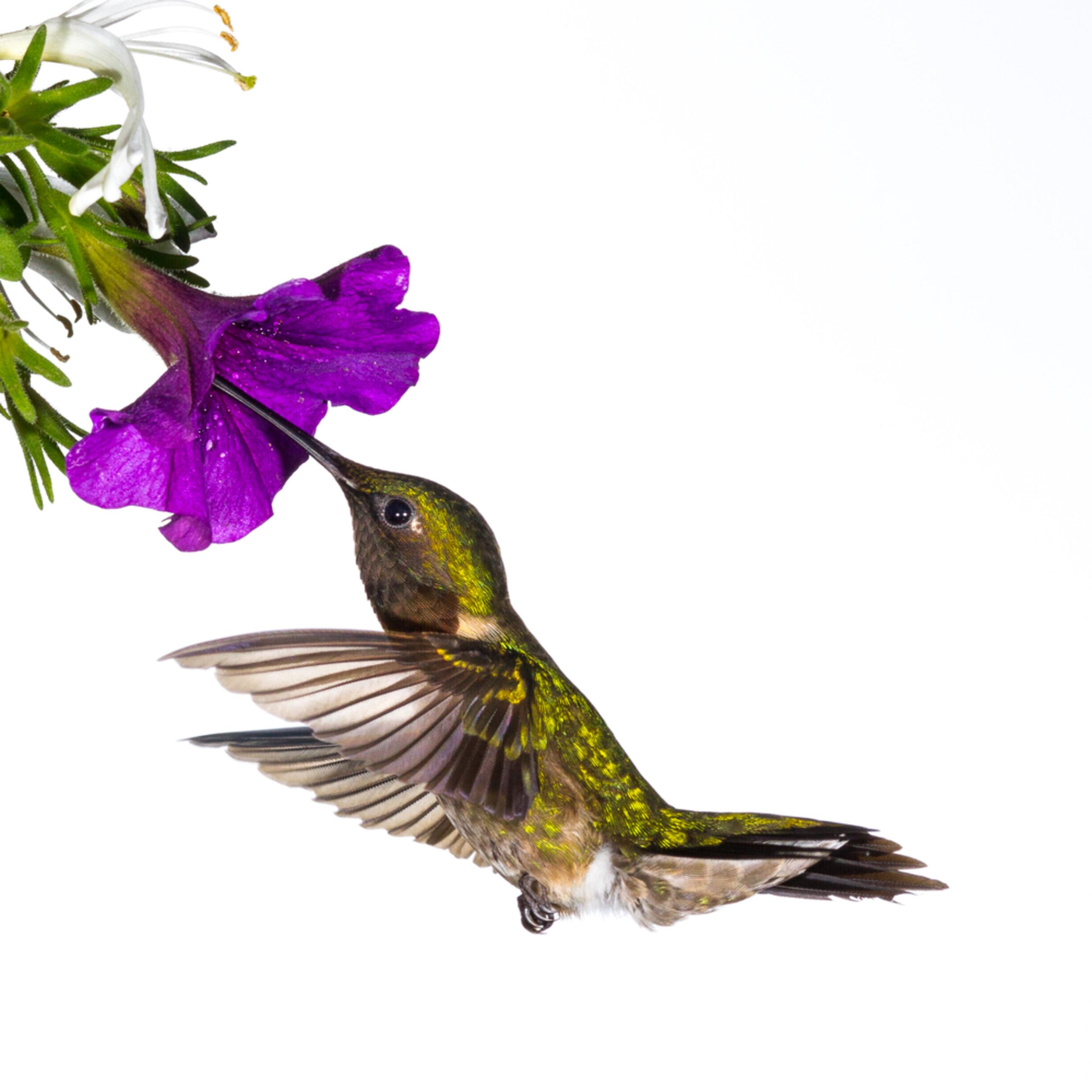 Hummingbirdonwhite 6749 ypmdpp