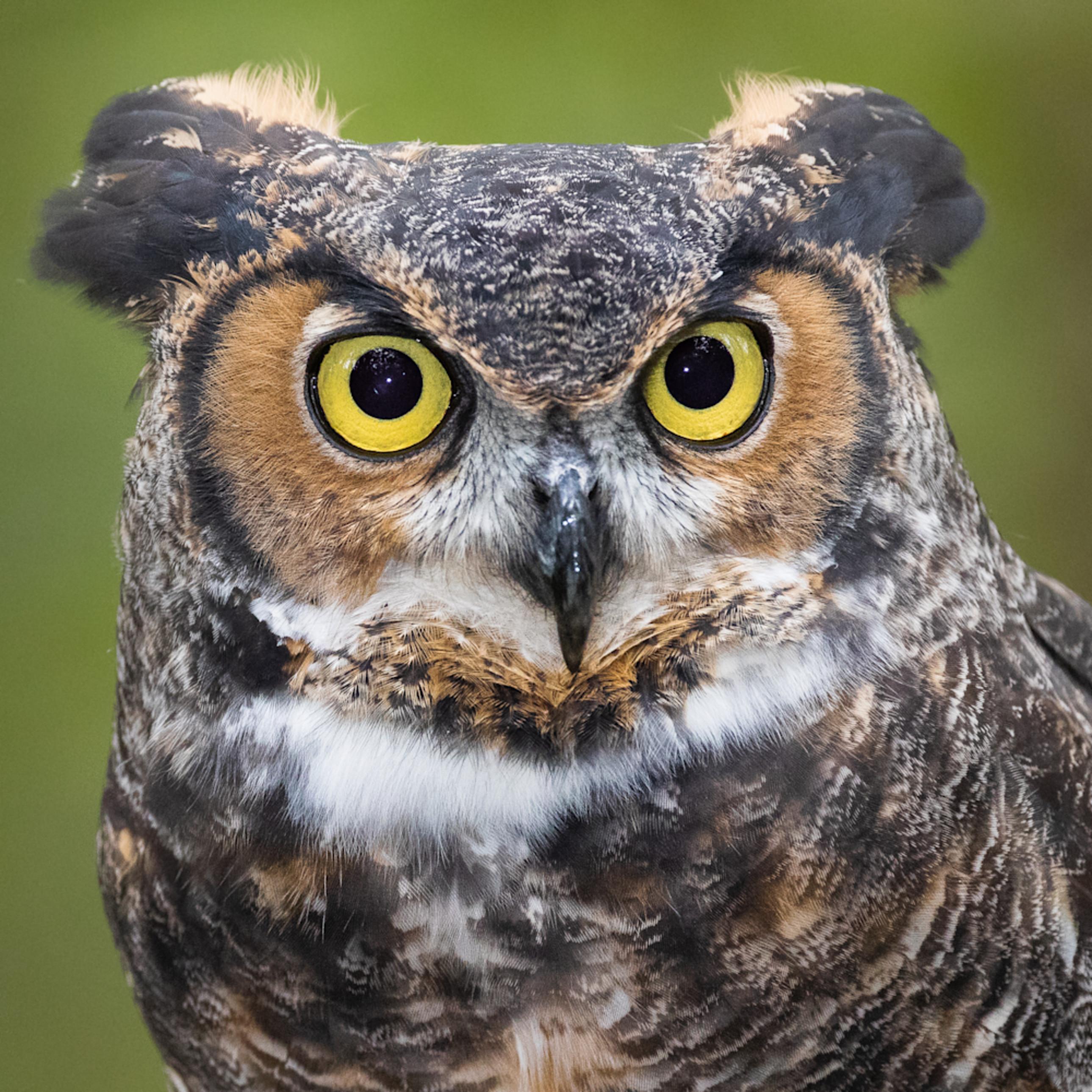Photowild greathornedowl cuda iiivn1