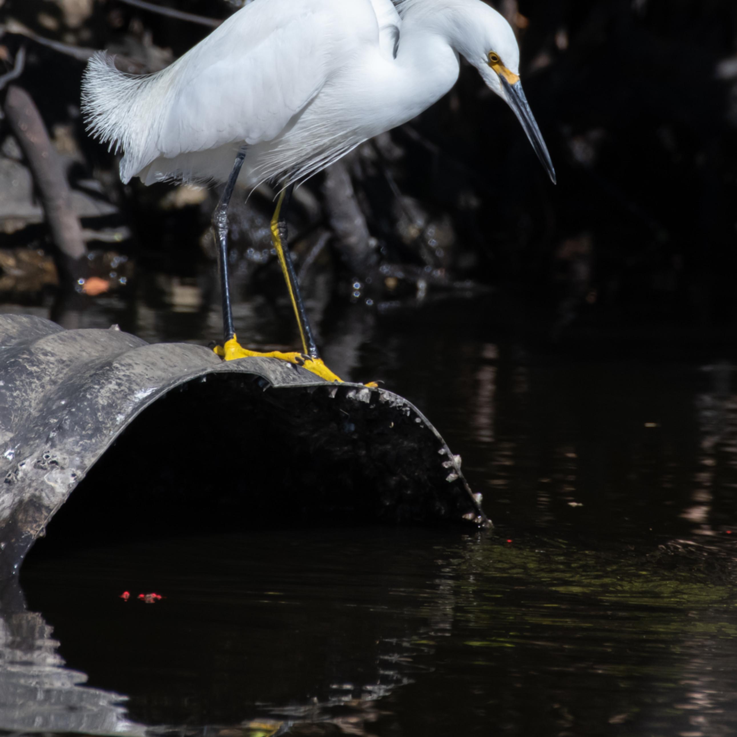 Egret portraits frederick snowy egret asfprint apy4hn