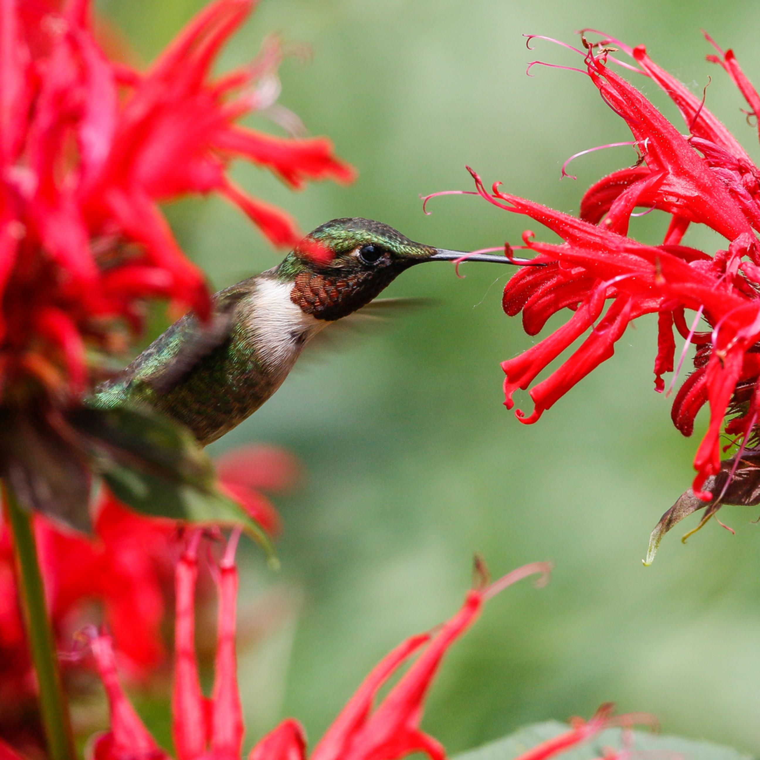 Ruby throated hummingbird in bee balm ail3cq