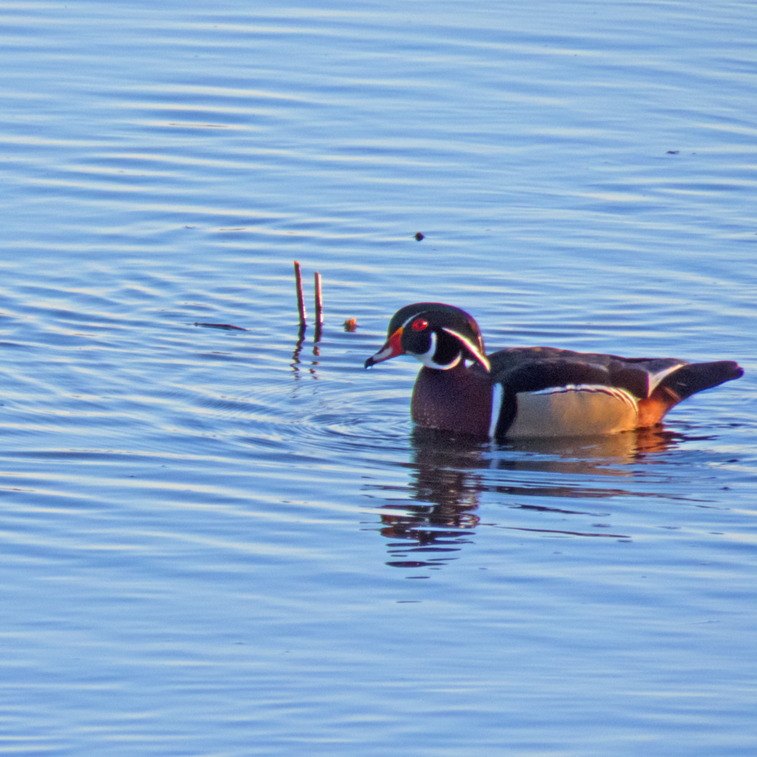 Male wood duck 2 si0toy