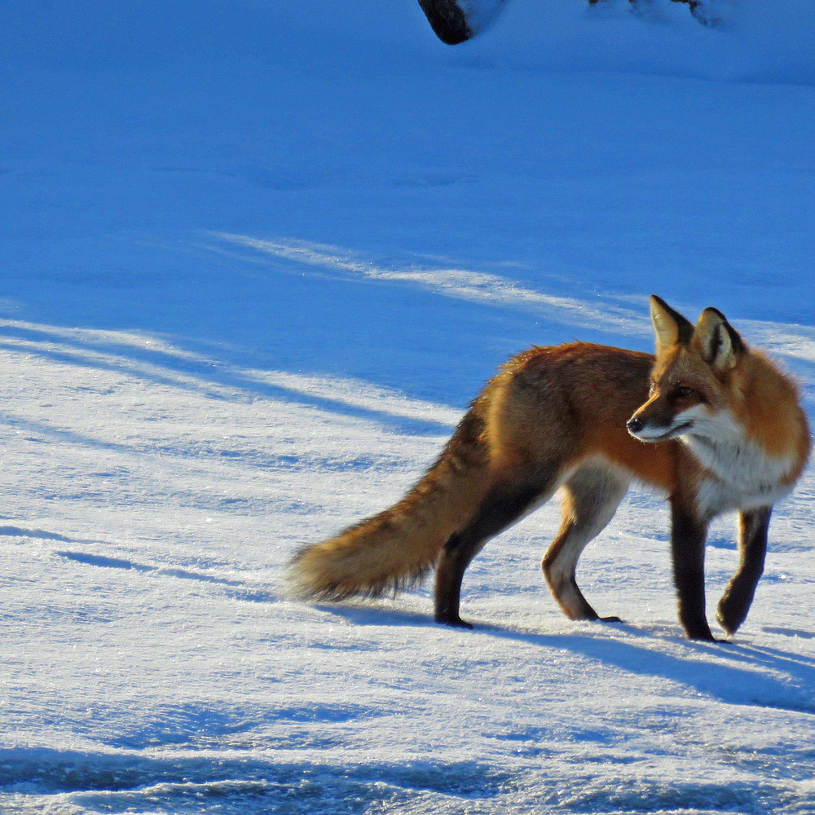 Foxy f6s54t