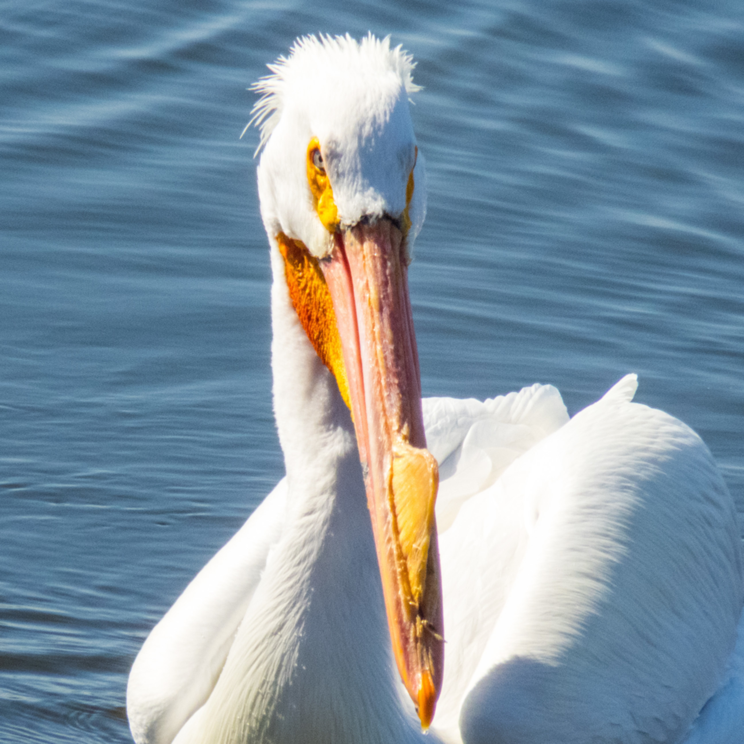 North american white pelican named bandit jifkxp
