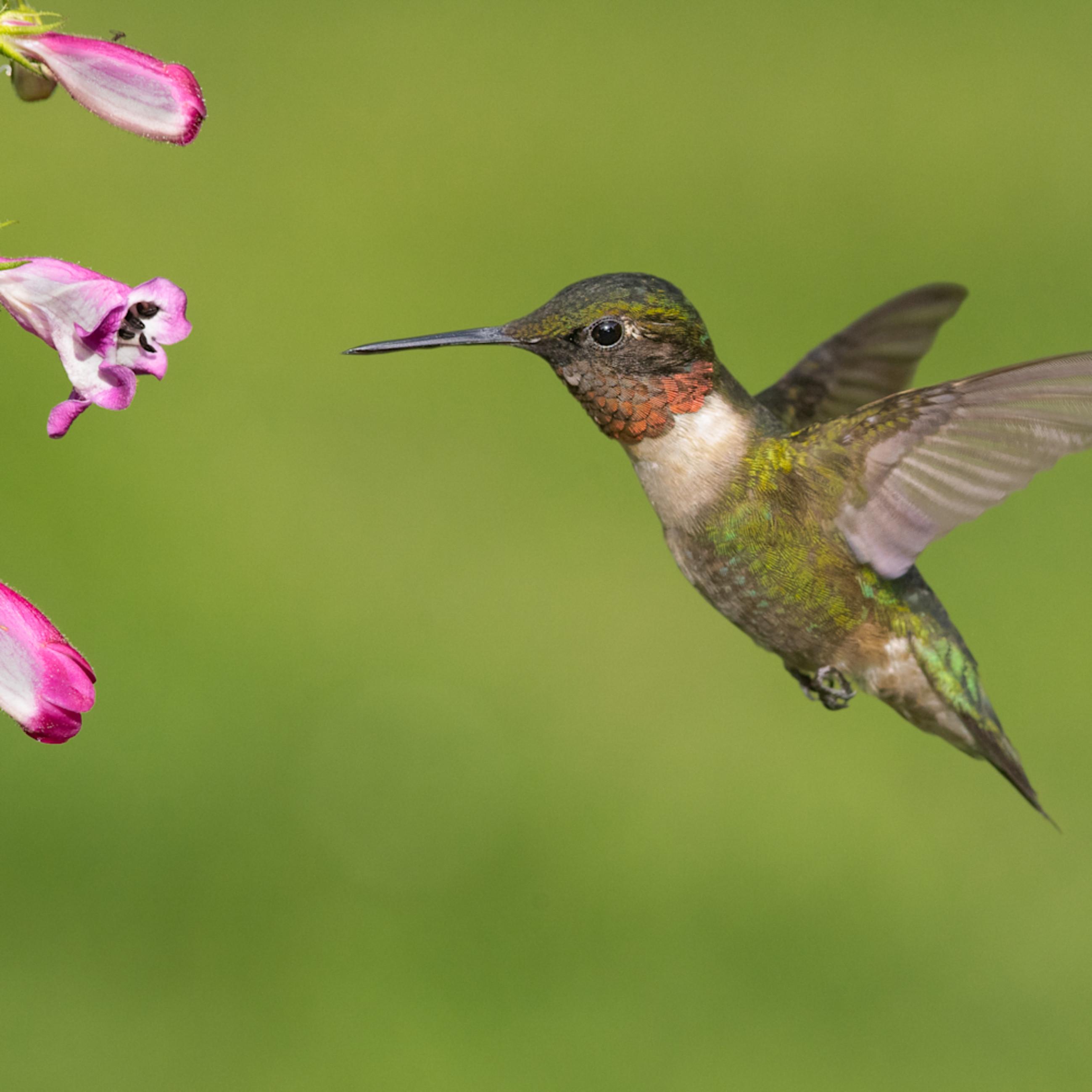 Ruby throated hummingbird zagmxa