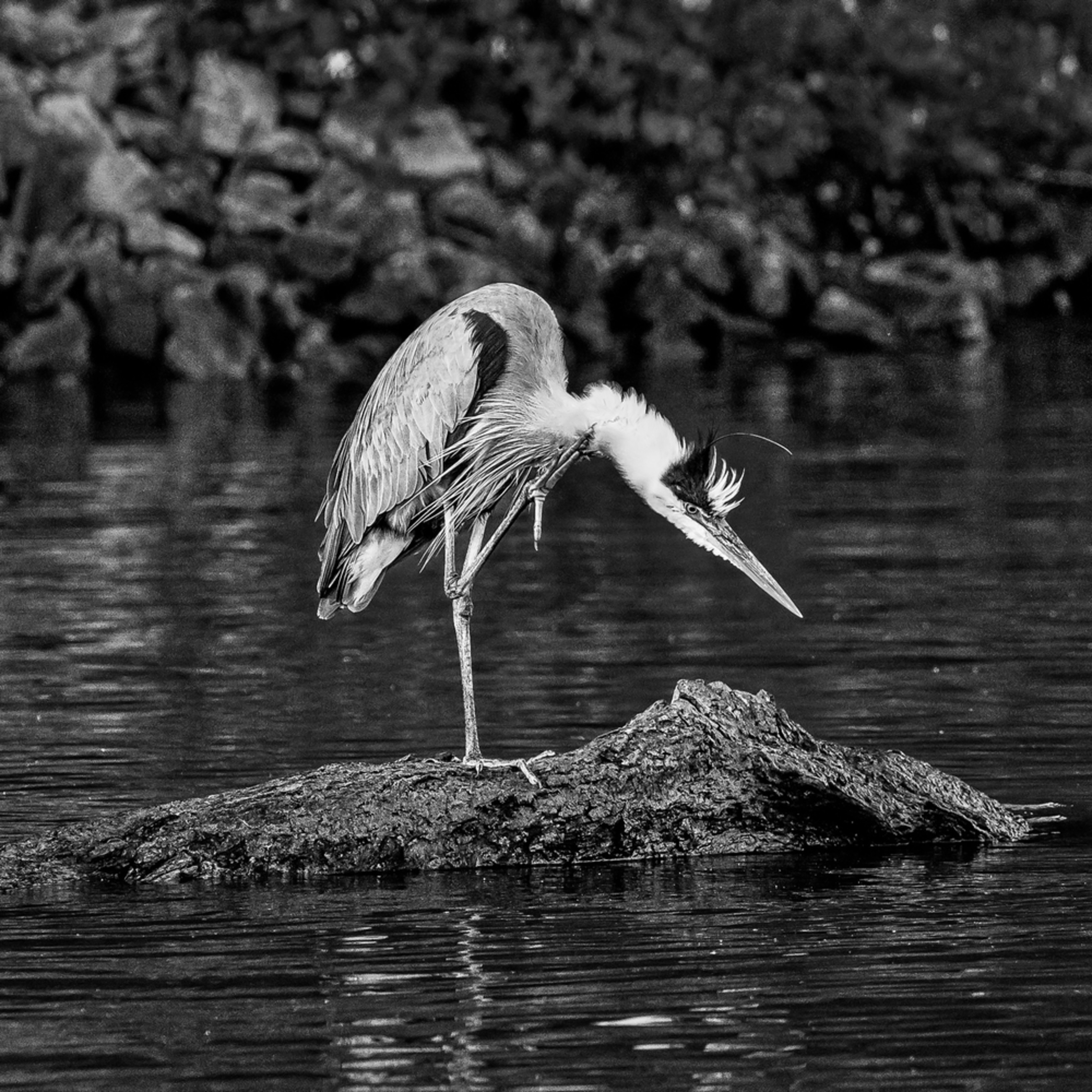 Andy crawford photography great blue heron 002 ixi5xh