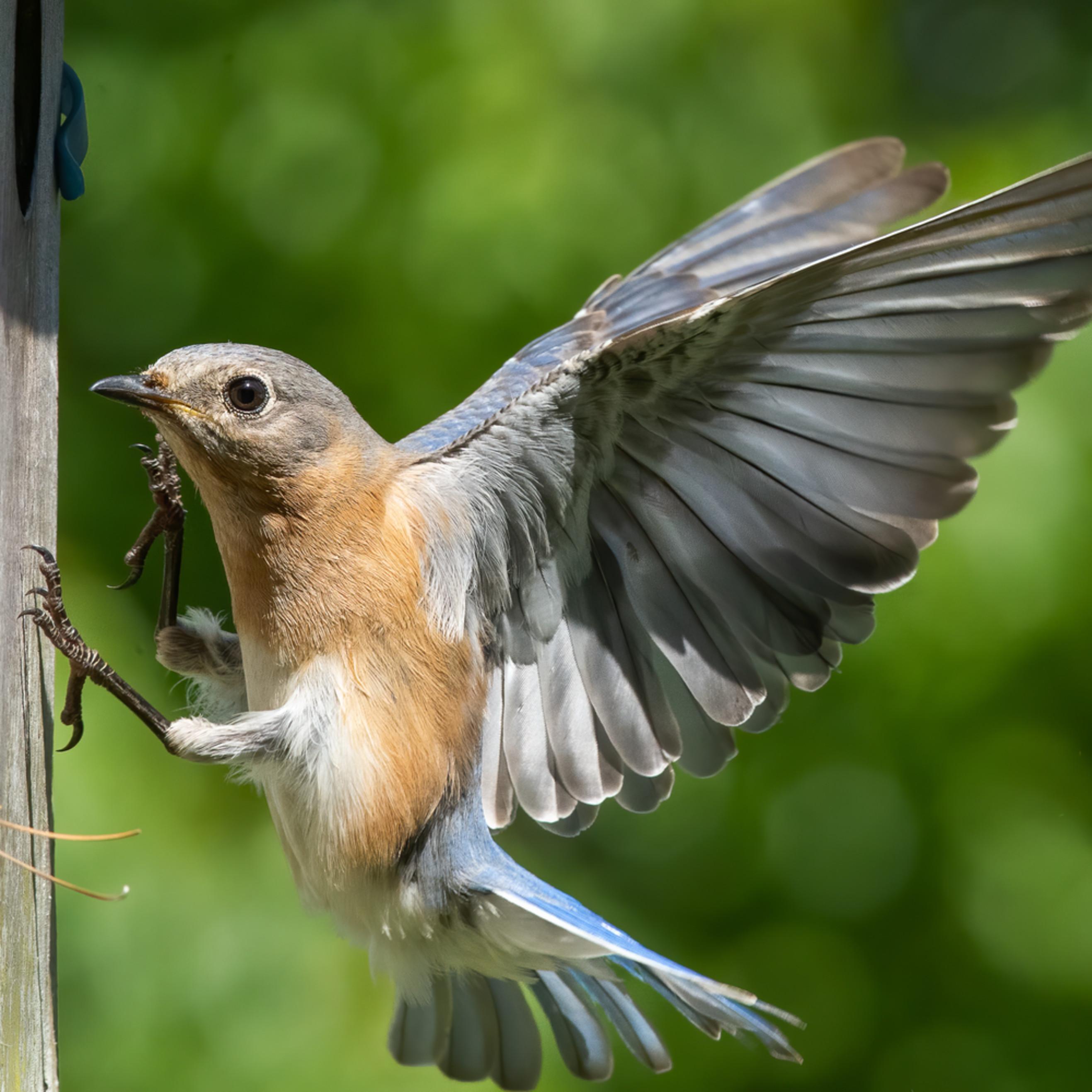 Forsyth county nc bluebird female cuda lnoq5l