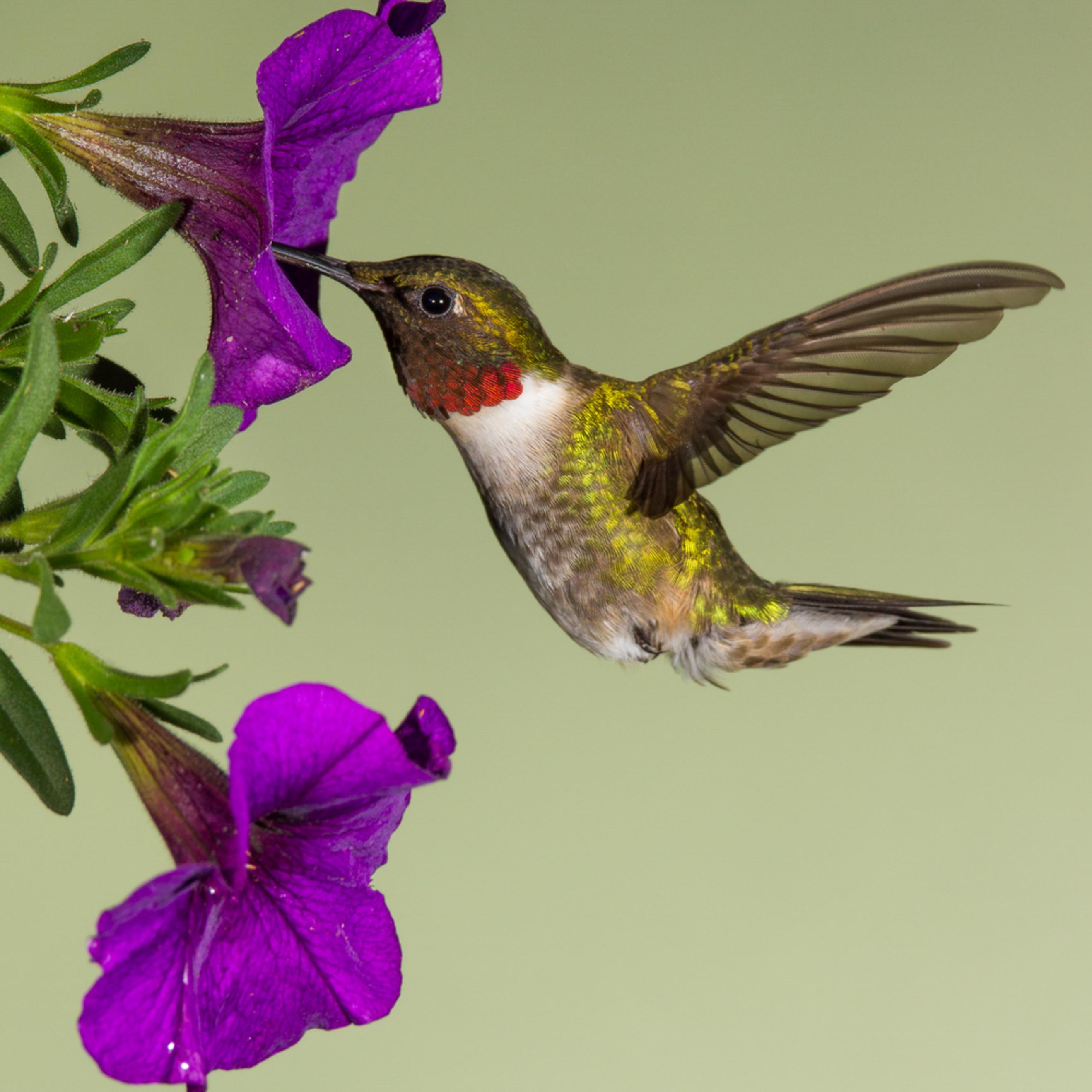 Cuda ruby throatedhummingbird q7rppm