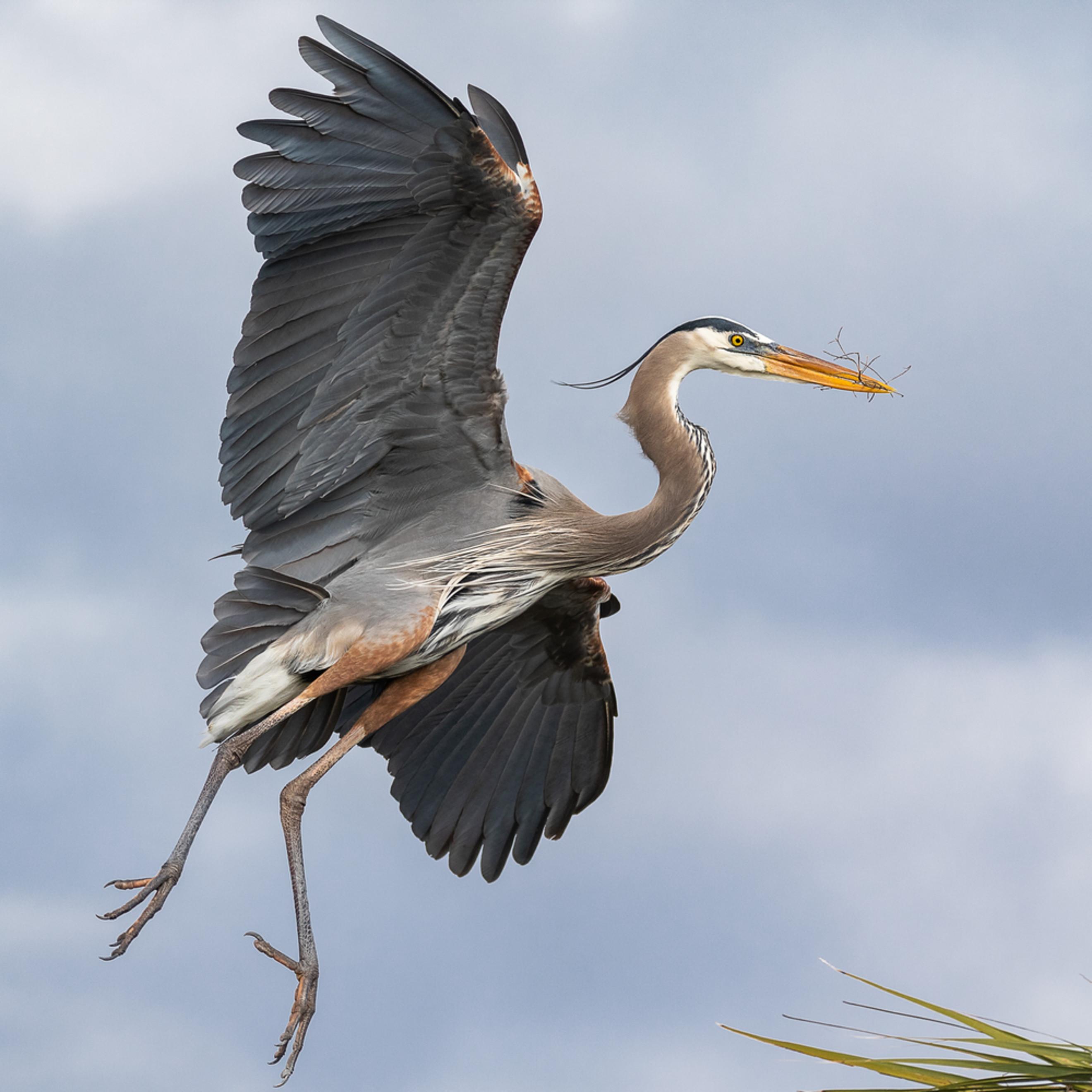 Florida wetland great blue heron nest cuda 1 h8xaxo