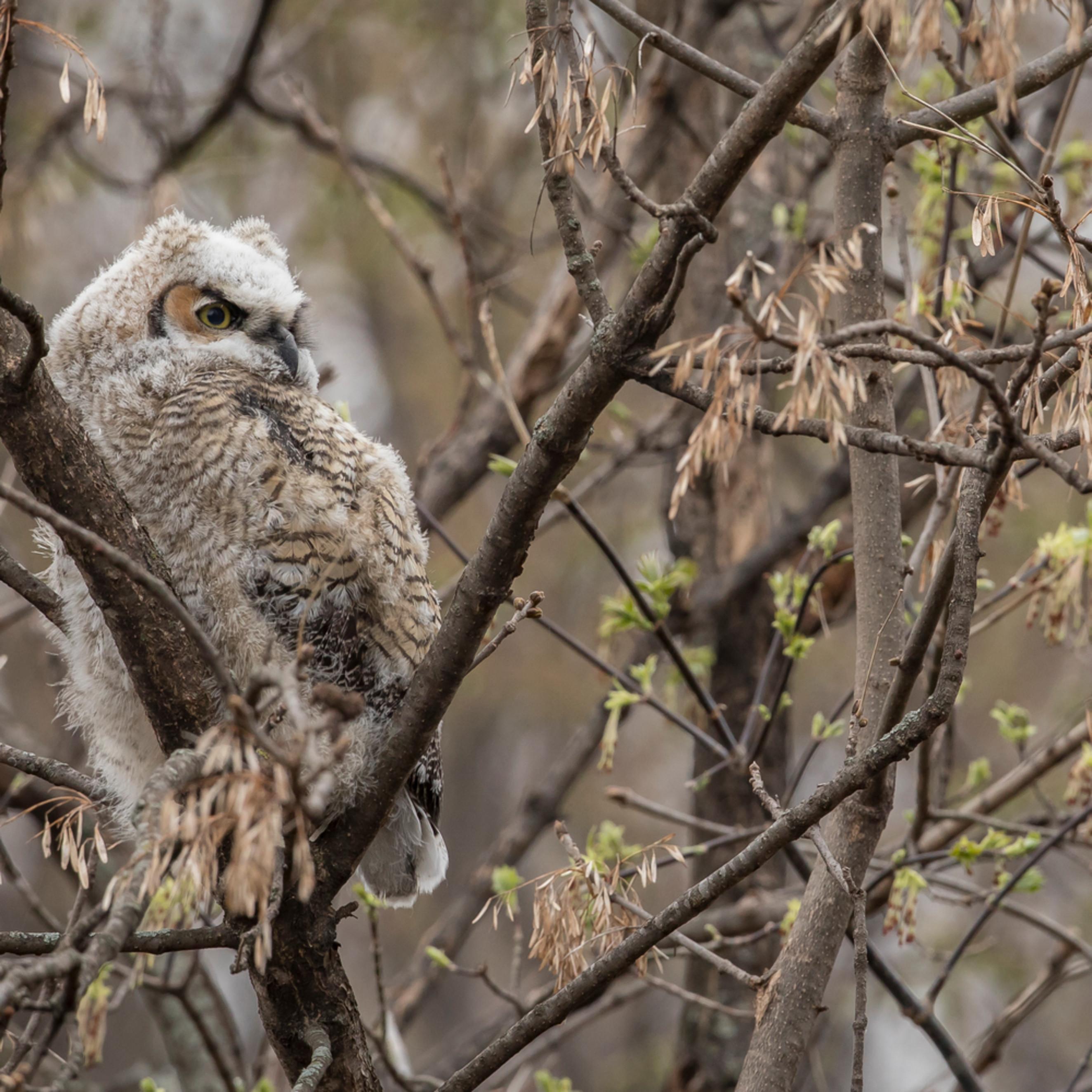 Great horned owl   ette xesuhg