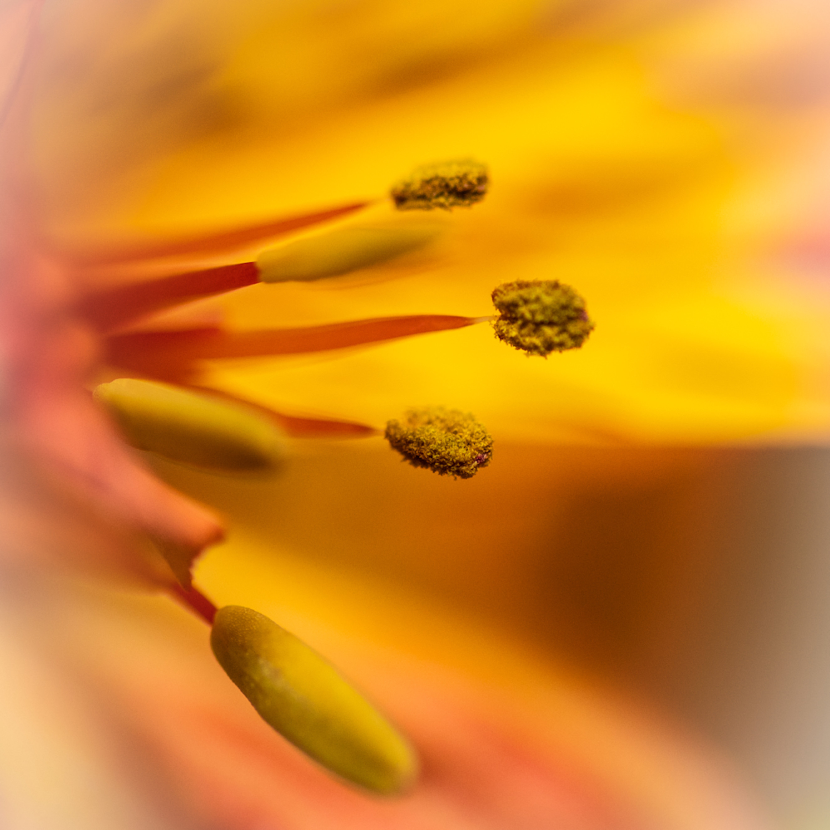 Yellow and orange macro of flower stamen tzc0op