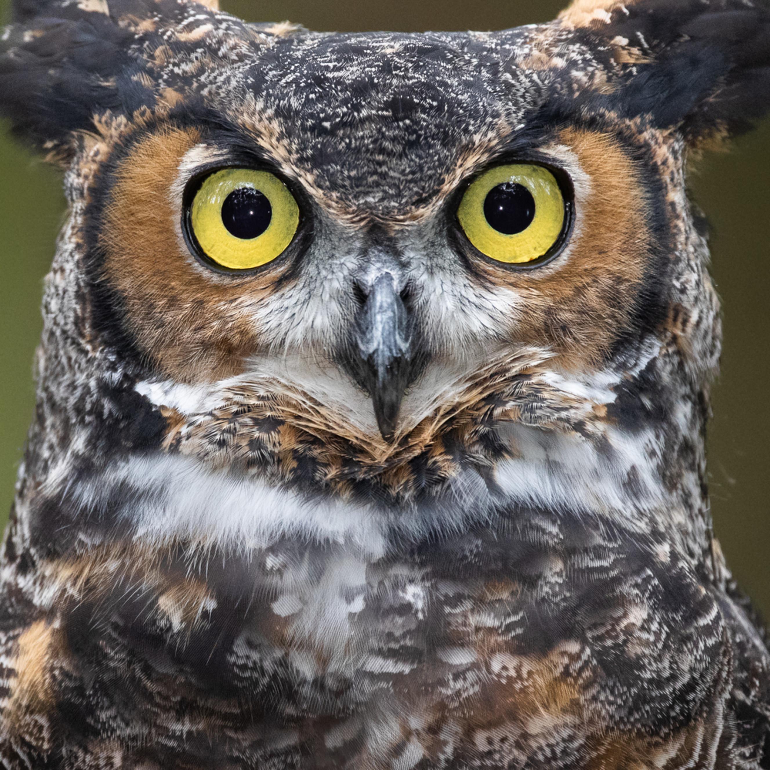 Photowild great horned owl cuda kfegdb