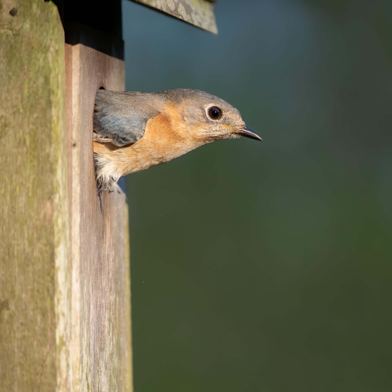 Foryth county nc bluebird nestbox ruolat