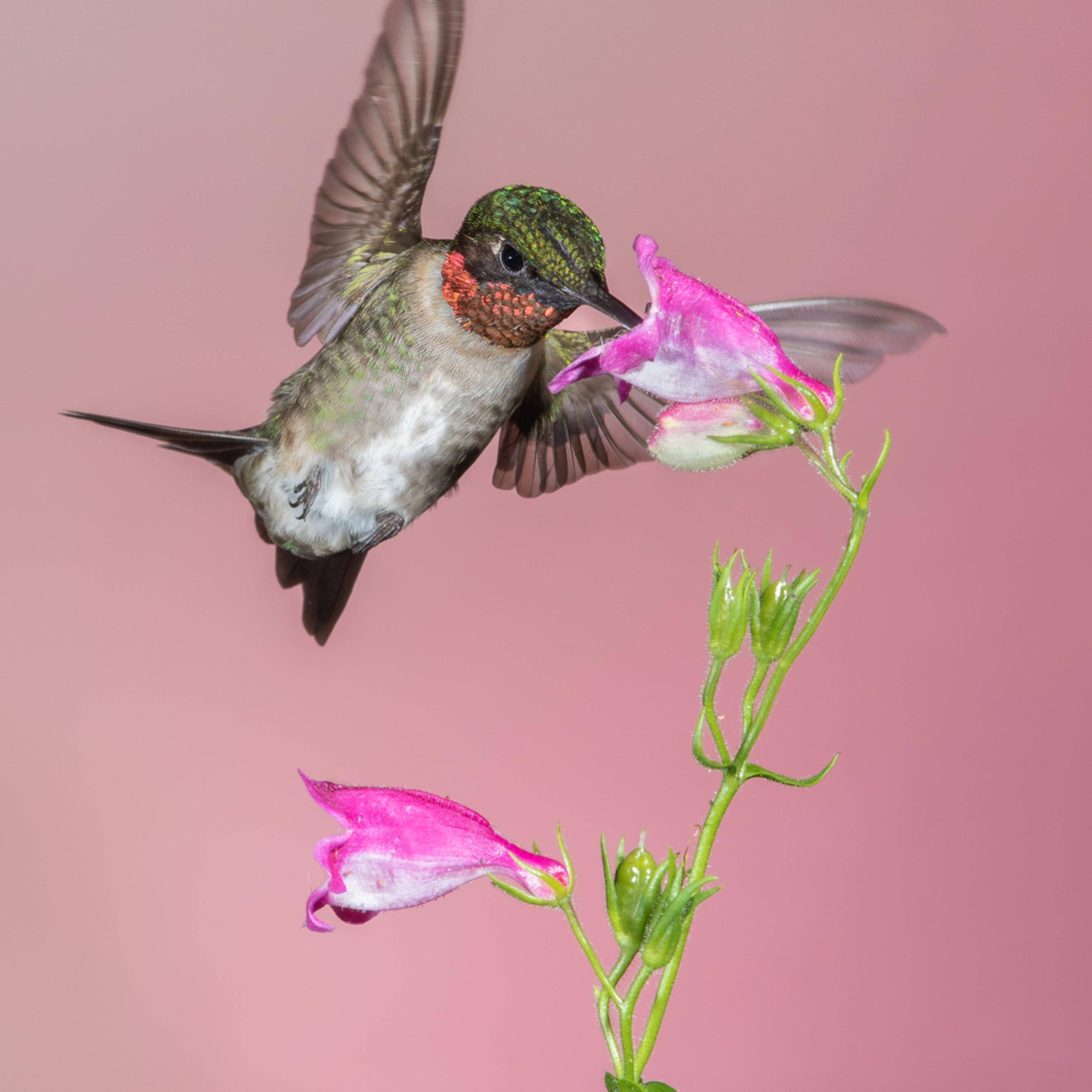 Forsyth county nc ruby throated hummingbird cuda2 uqw7ev