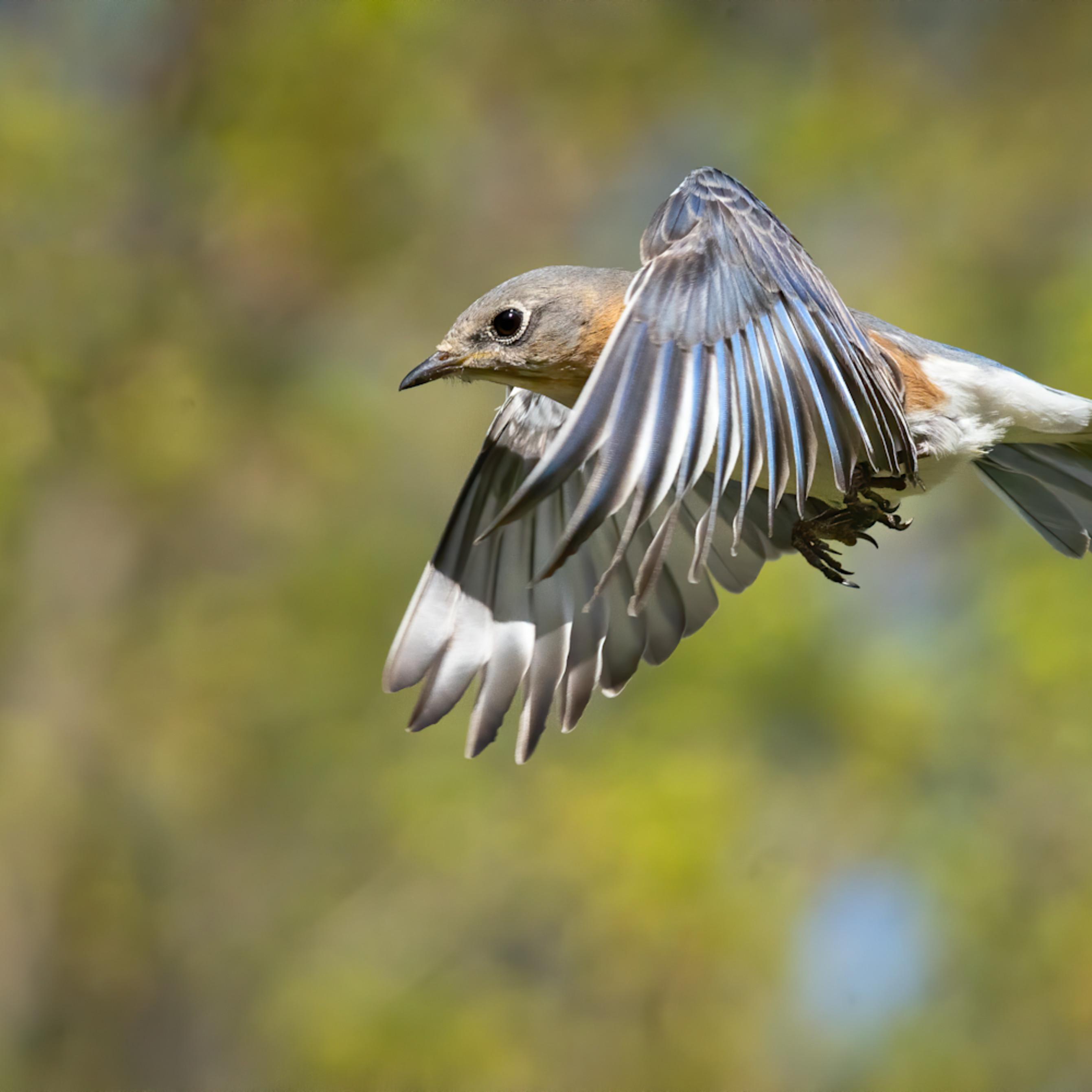 Forsyth county nc bluebird flightt rf3rhk