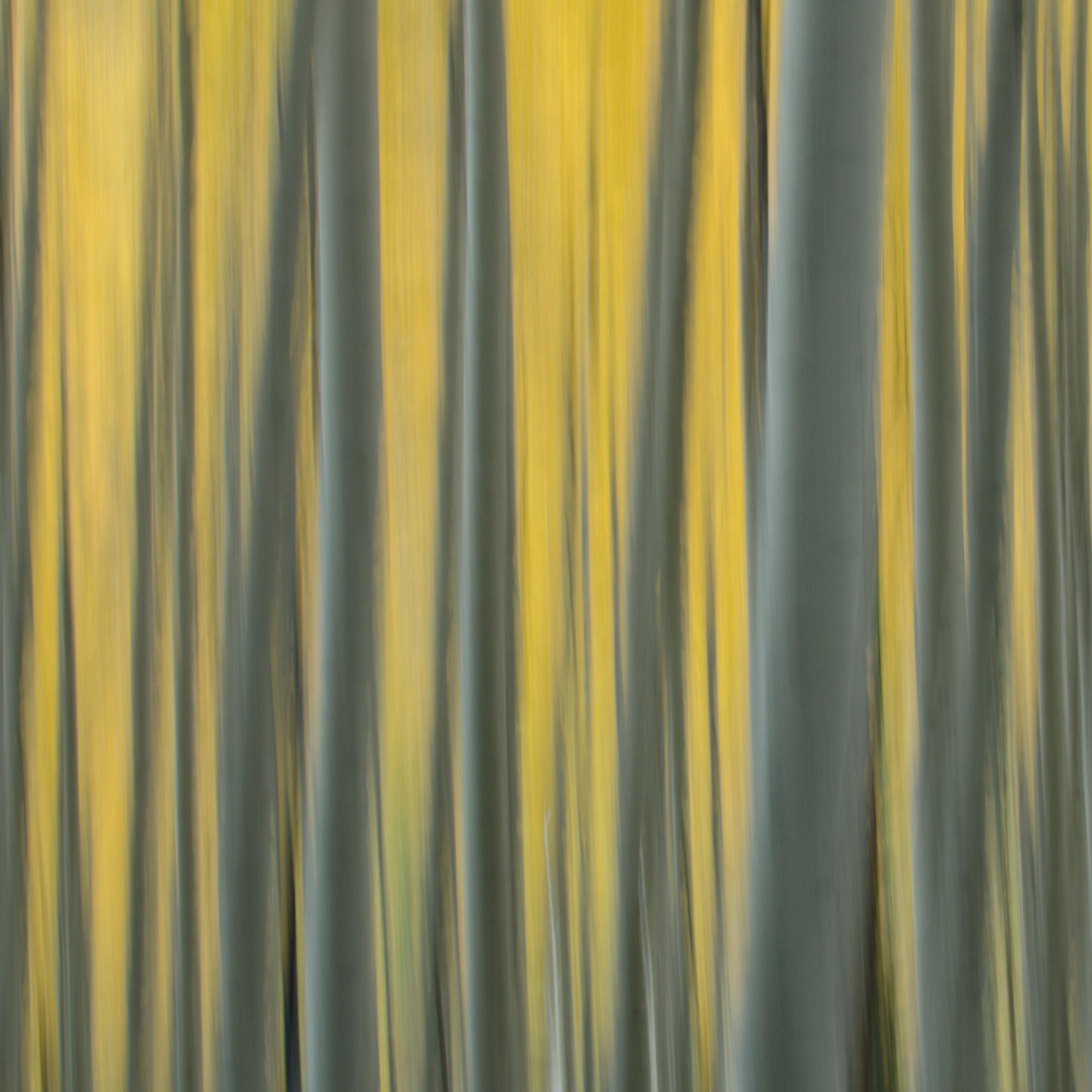 Yellow aspen gfwzh9