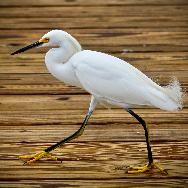 Great white egret dock signed tn2g1i