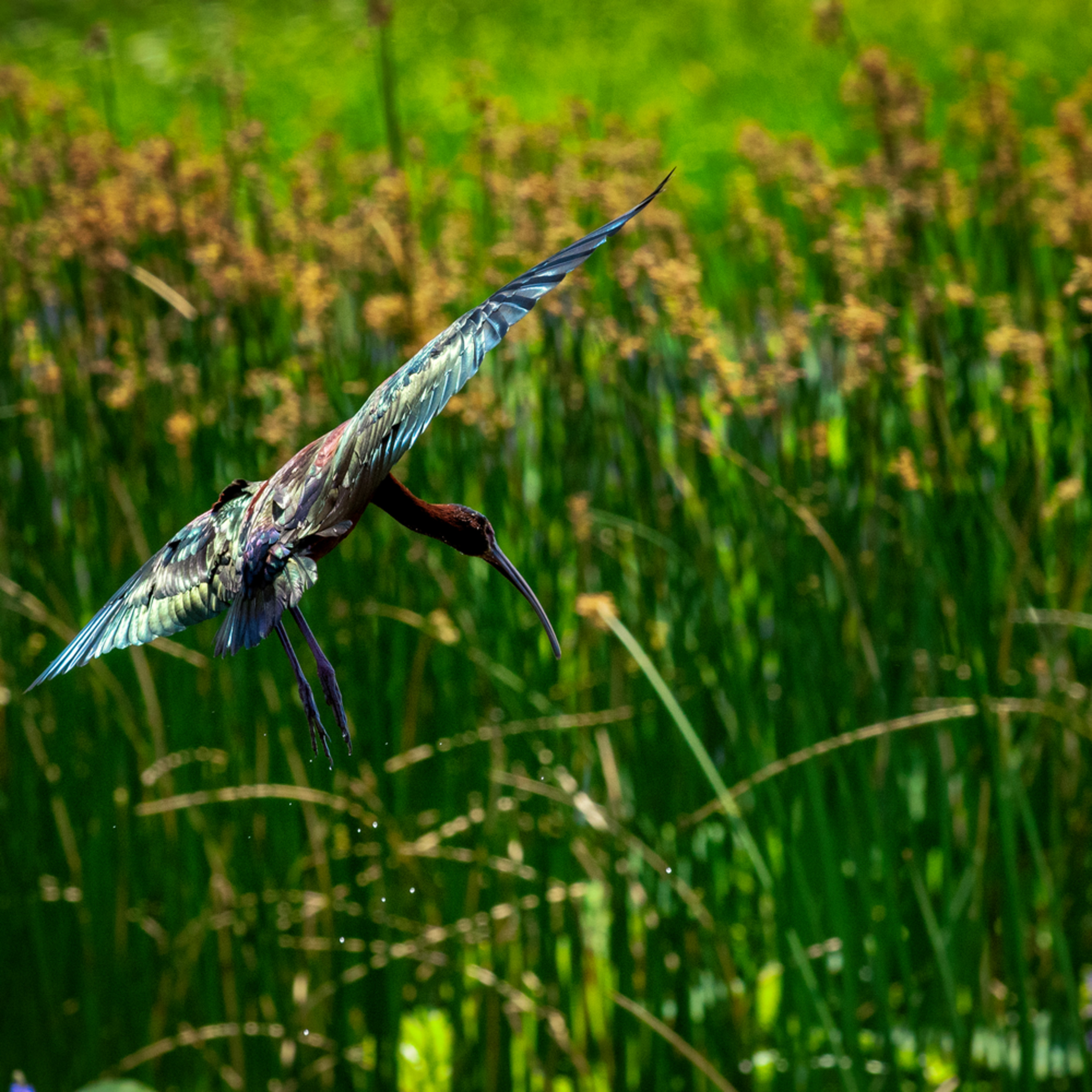 Andy crawford photography glossy ibis in flight 1 ngksmd
